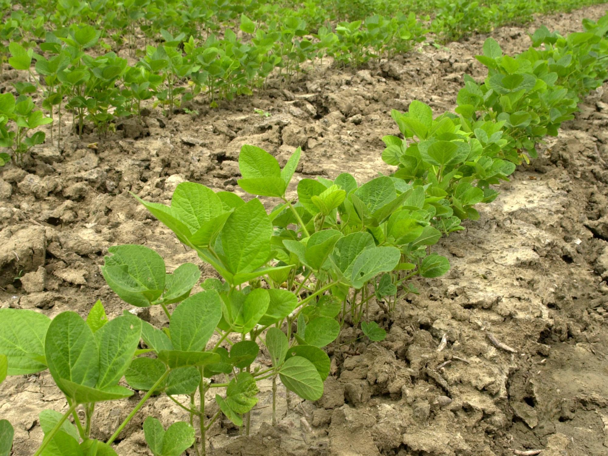 A week of mostly good planting weather helped growers make progress planting the state's soybean crop. By May 26, about 32 percent had emerged. In a typical year, nearly 80 percent of the crop would be out of the ground. (File Photo by MSU Ag Communications/Marco Nicovich)