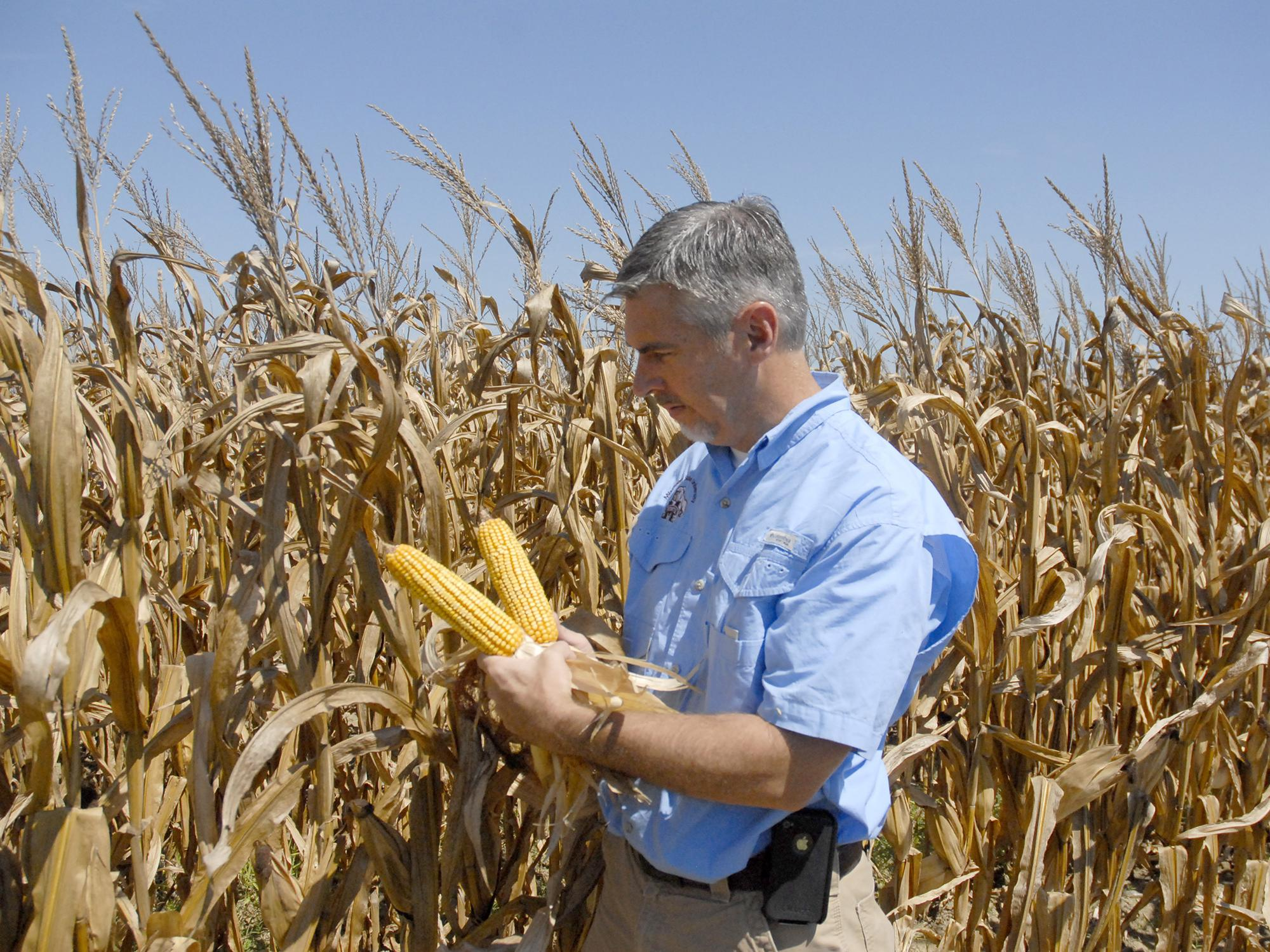 Erick Larson, corn specialist with the Mississippi State University Extension Service, examines hybrid plants in test plots located on the R.R. Foil Plant Science Research Center on Sept. 4, 2013. (Photo by MSU Ag Communications/Linda Breazeale)
