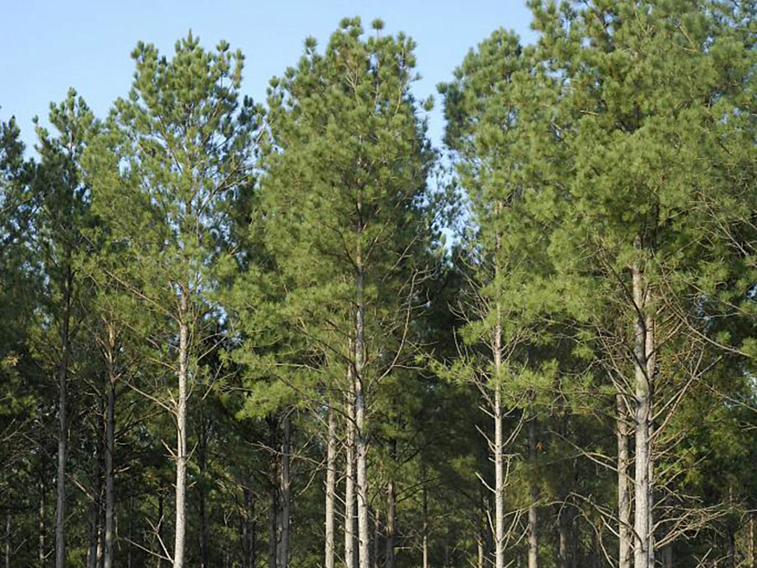 Mississippi's timber industry may see increasing demand for Southern pine lumber as new home construction rates continue to rise. This pine was growing in Monroe County on Sept. 12, 2013. (File photo by MSU Ag Communications/Linda Breazeale)