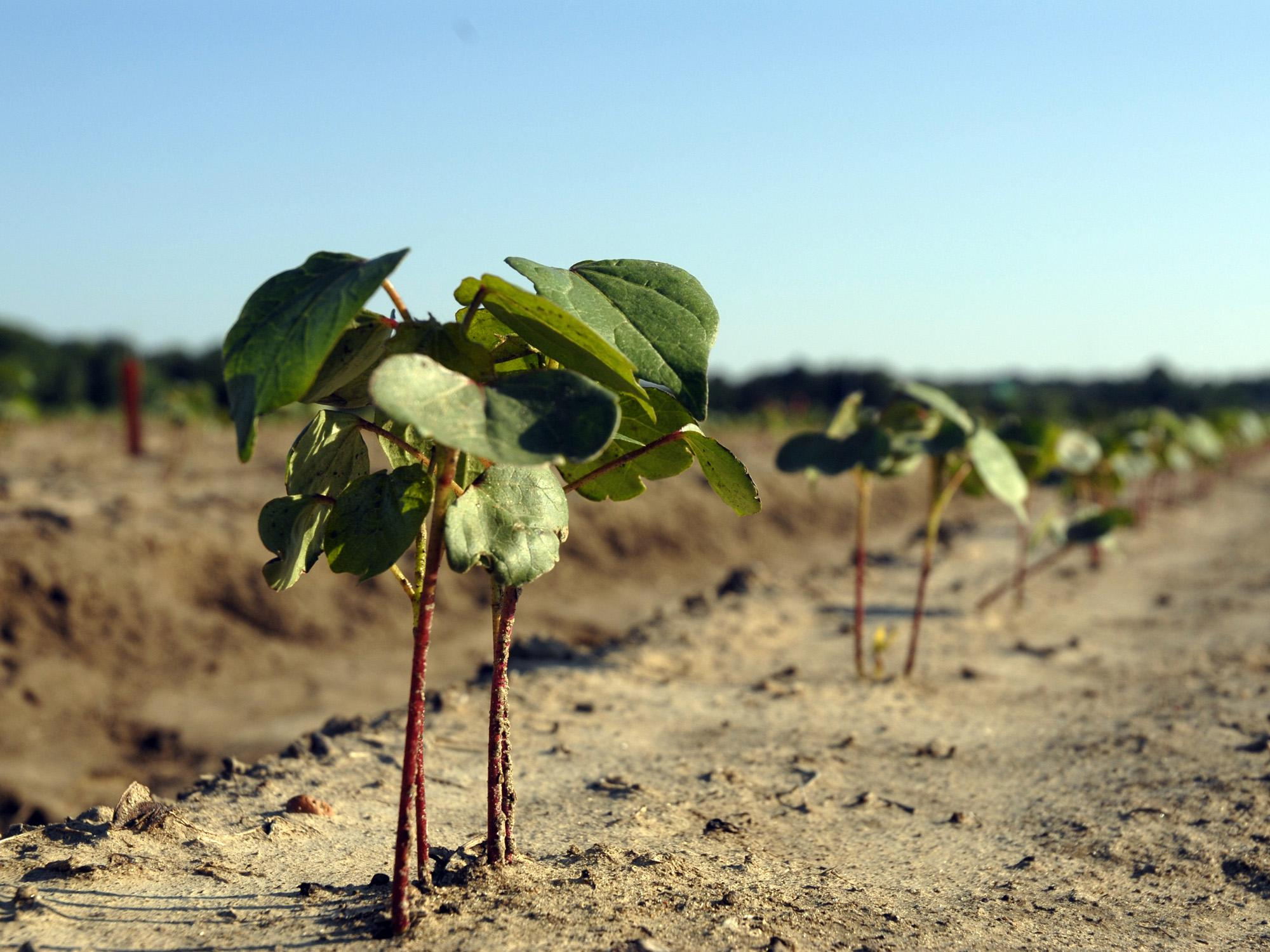 A week without rain in early May gave Mississippi producers a chance to catch up with spring planting. This cotton on Mississippi State University's R.R. Foil Plant Science Research Center was planted before the late-April rains. (Photo by MSU Ag Communications/Bonnie Coblentz)