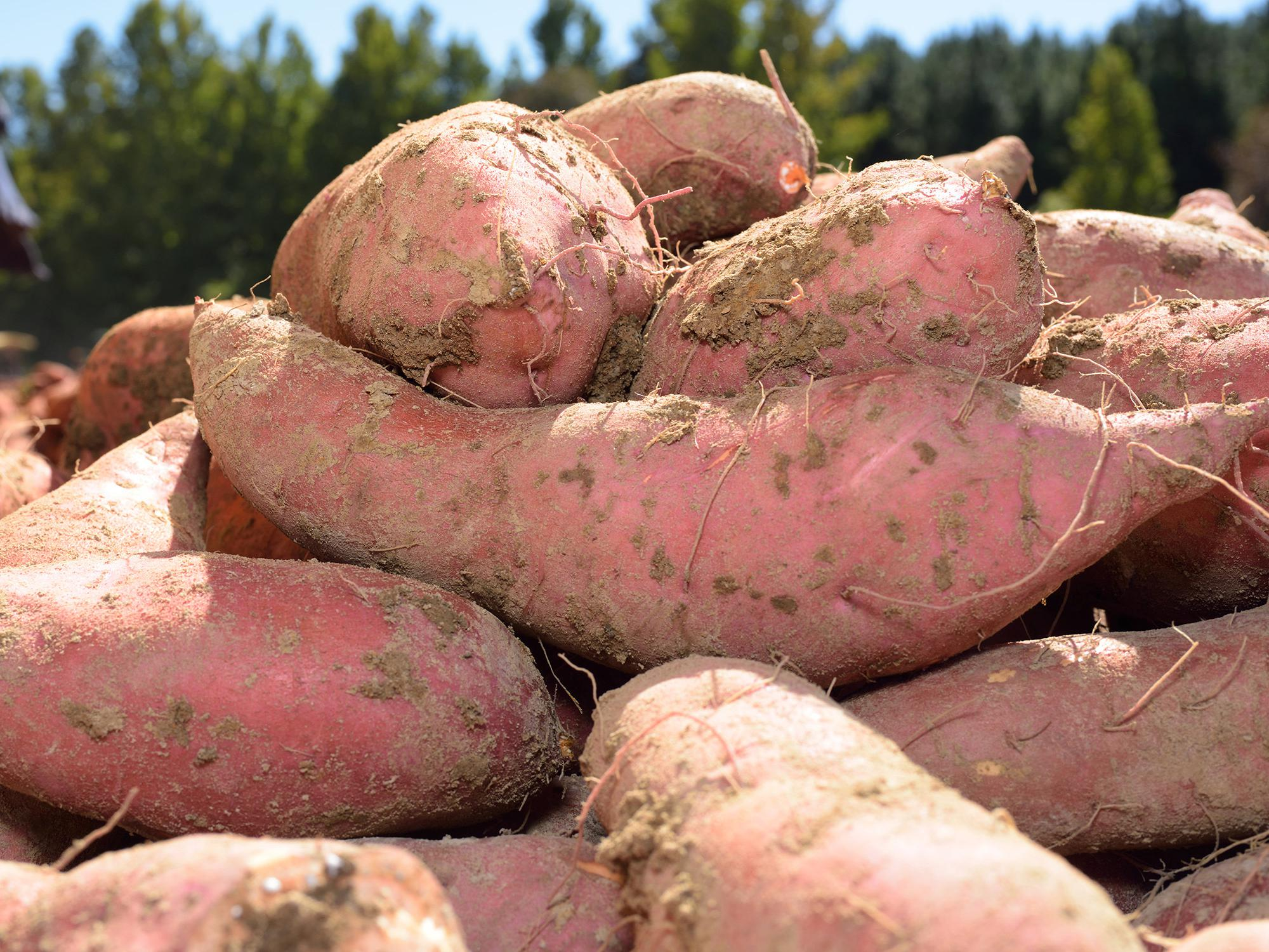 With sweet potato harvest halfway done in Mississippi, growers are finding a beautiful but small crop. (Photo by MSU Ag Communications/ Kevin Hudson)