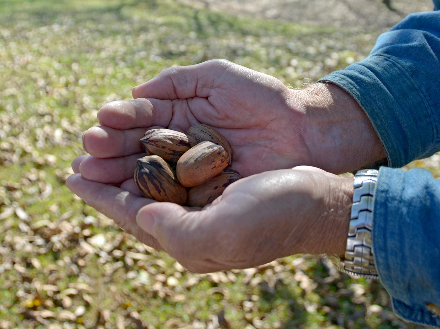 Mississippi trees are producing fewer pecans than normal this year, but consumers will be pleased with the size and taste of most nuts, such as these from an orchard in Oktibbeha County. This photo was taken on Oct. 31, 2014. (Photo by MSU Ag Communications/Linda Breazeale)