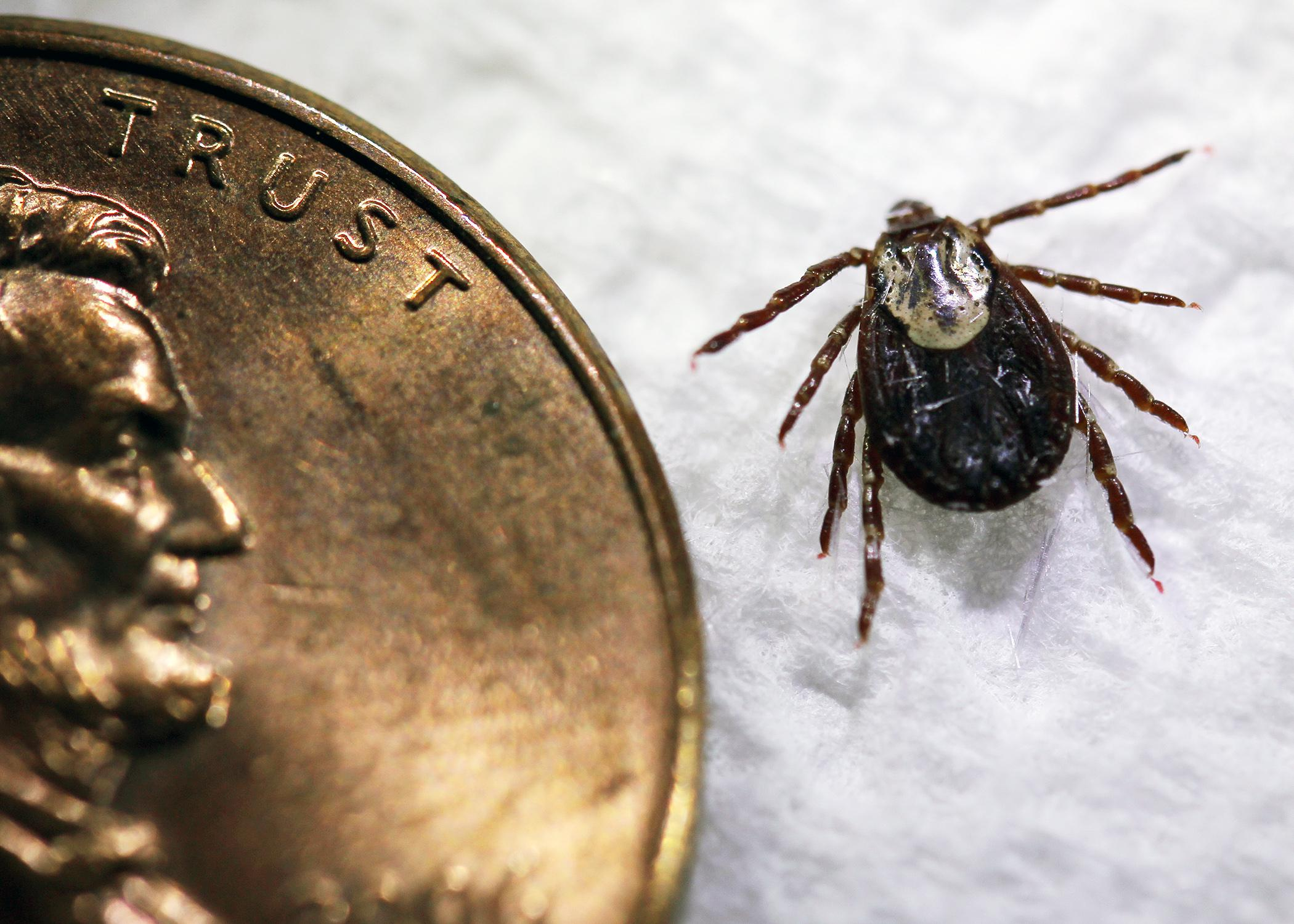 American dog ticks, such as this adult female, are one of 19 species of the disease-carrying parasite found in Mississippi. (Photo courtesy of Marina Denny)