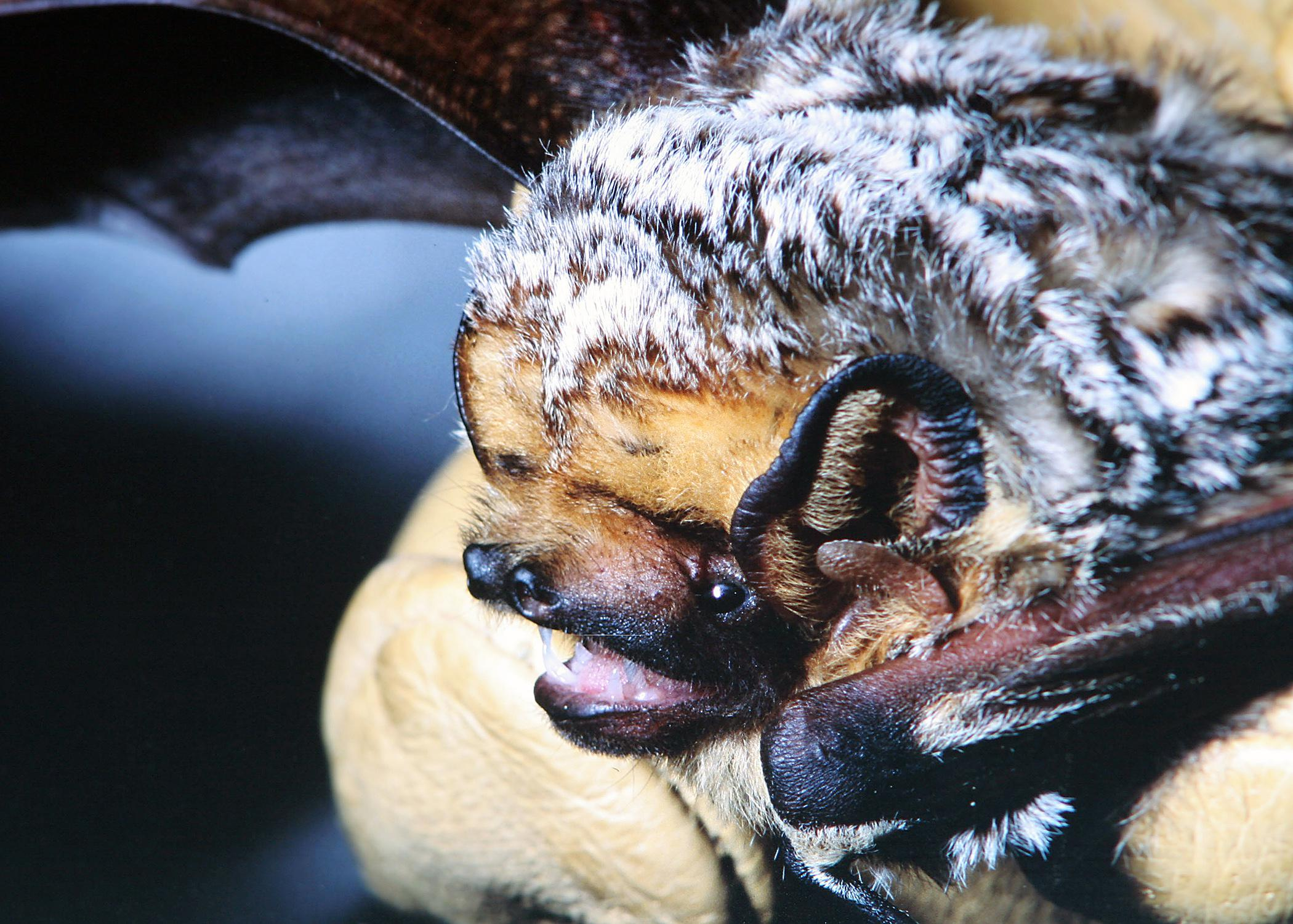 This hoary bat, Lasiurus cinereus, is a solitary animal found in Mississippi that prefers to roost in the foliage of trees. Bats provide many environmental benefits, including pollination and insect control. (Photo courtesy of Raymond Iglay)