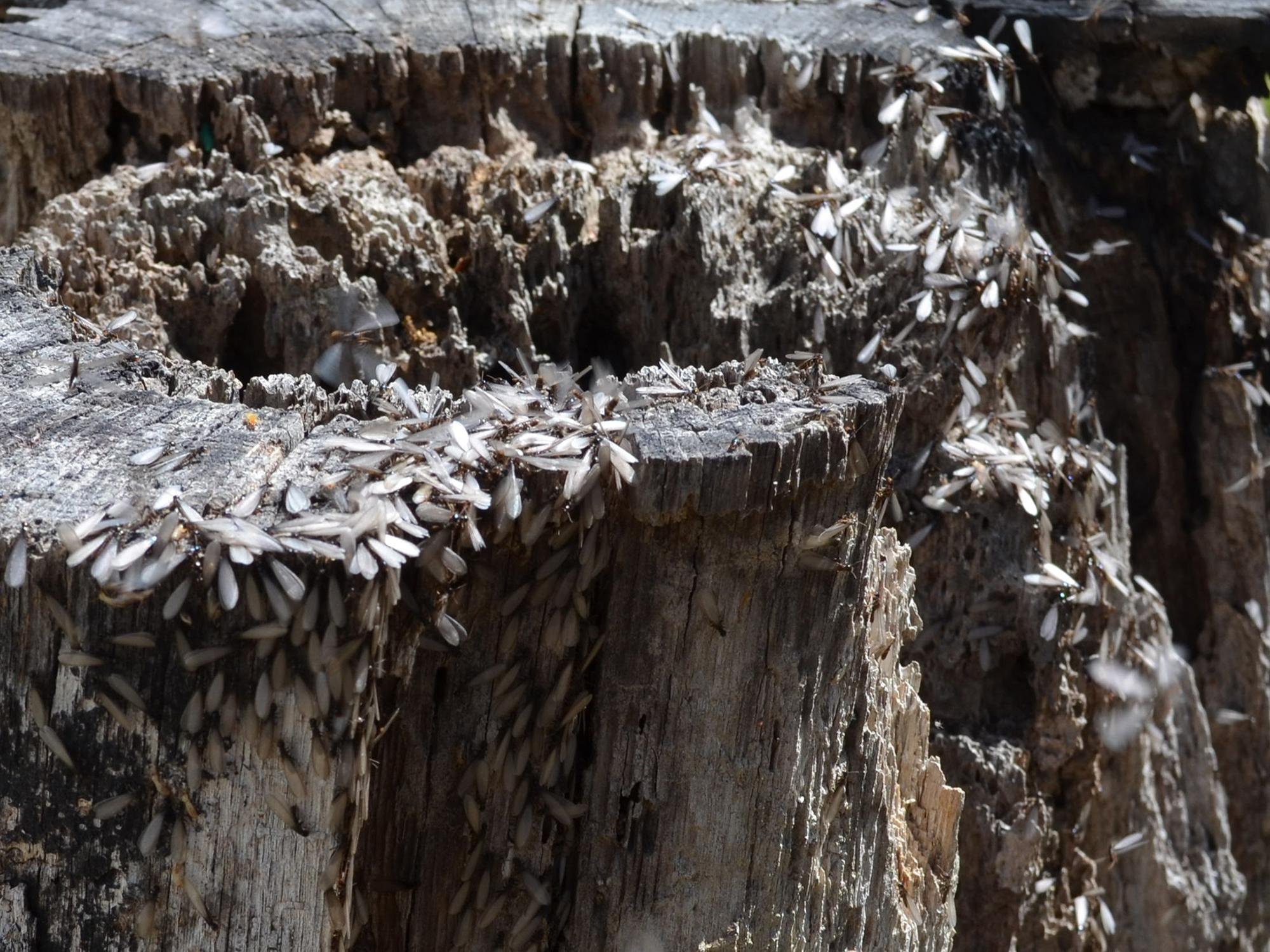 Termites swarming on this decaying tree stump are a healthy part of nature, but homeowners must take steps to make sure they do not infest houses. (Photo by MSU Extension Service/Linda Breazeale)