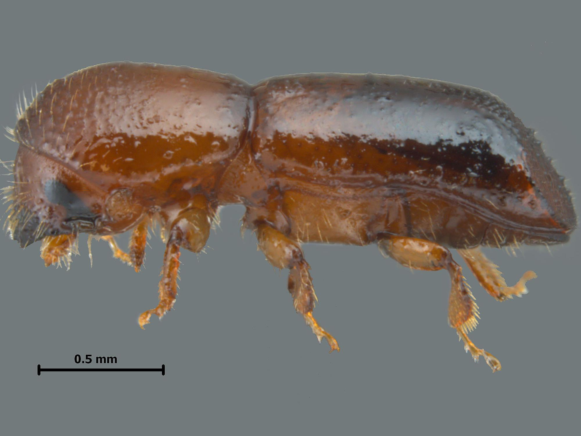 The tiny redbay ambrosia beetle was first found in the U.S. in 2002. It carries a fungus that is devastating to any tree or shrub species in the laurel family. (Photo by Mississippi Entomological Museum/Joe A. MacGown)