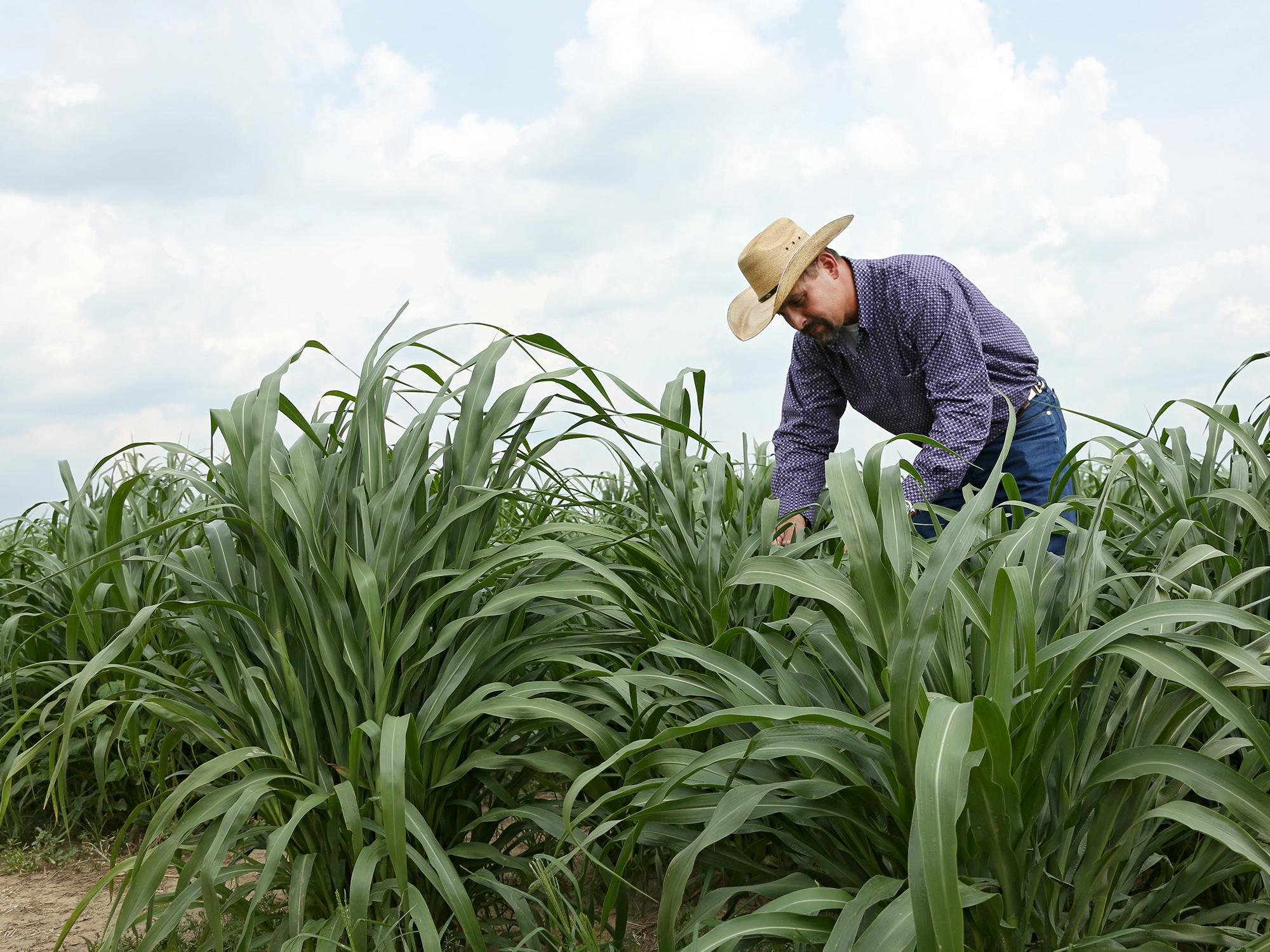 Award-winning forage specialist Rocky Lemus, associate Extension and research professor at Mississippi State University, examines grass growing in 2015 research plots. (MSU Extension Service file photo)