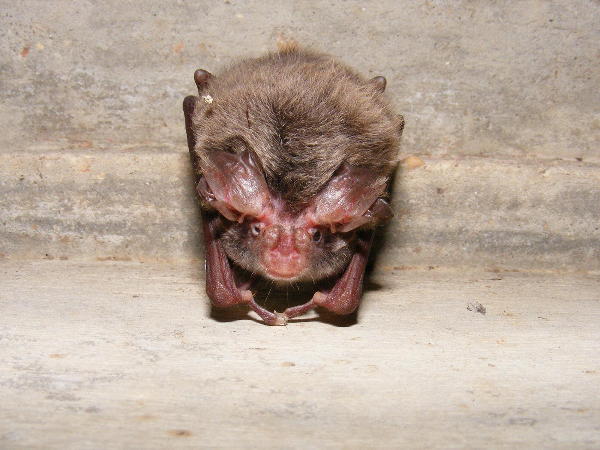 A small brown bat looks into the camera as it hangs upside down.