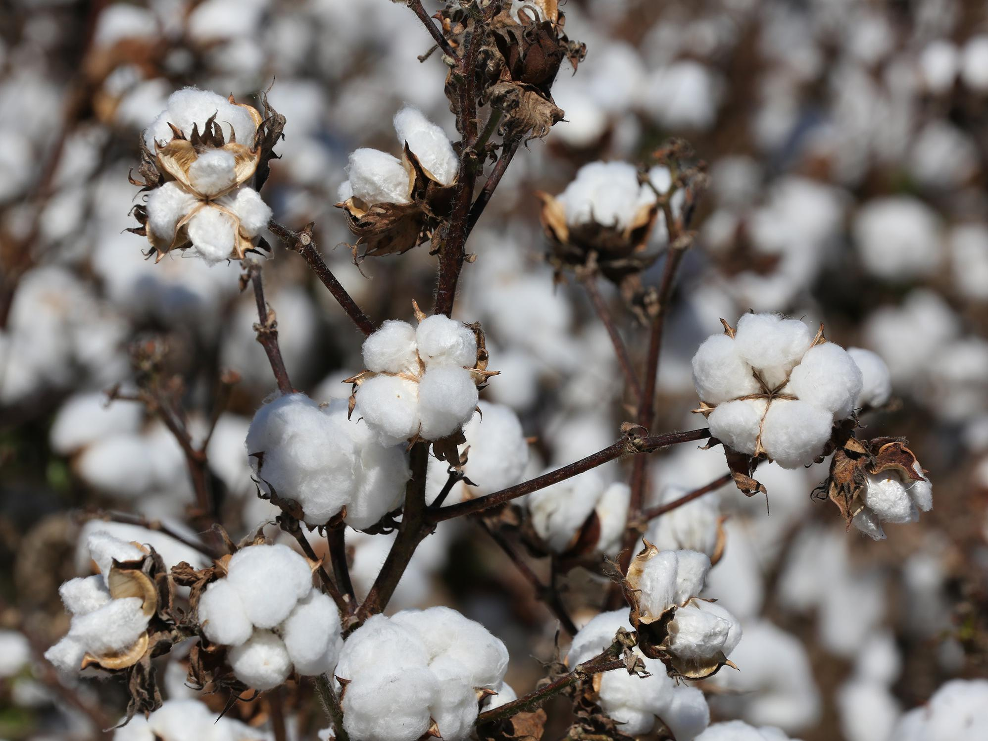 Defoliated cotton plants are ready for harvest.