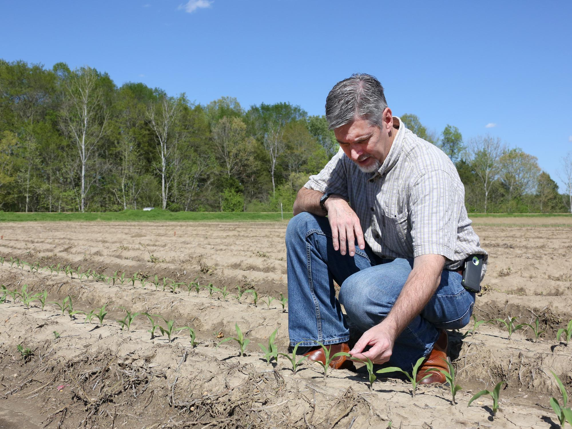 Producers took advantage of a break in the typical spring rains to get much of Mississippi's corn crop planted in late March. Erick Larson, Mississippi State University Extension Service corn specialist, examined corn in Starkville, Mississippi, on April 5, 2017. (Photo by MSU Extension Service/Kat Lawrence)
