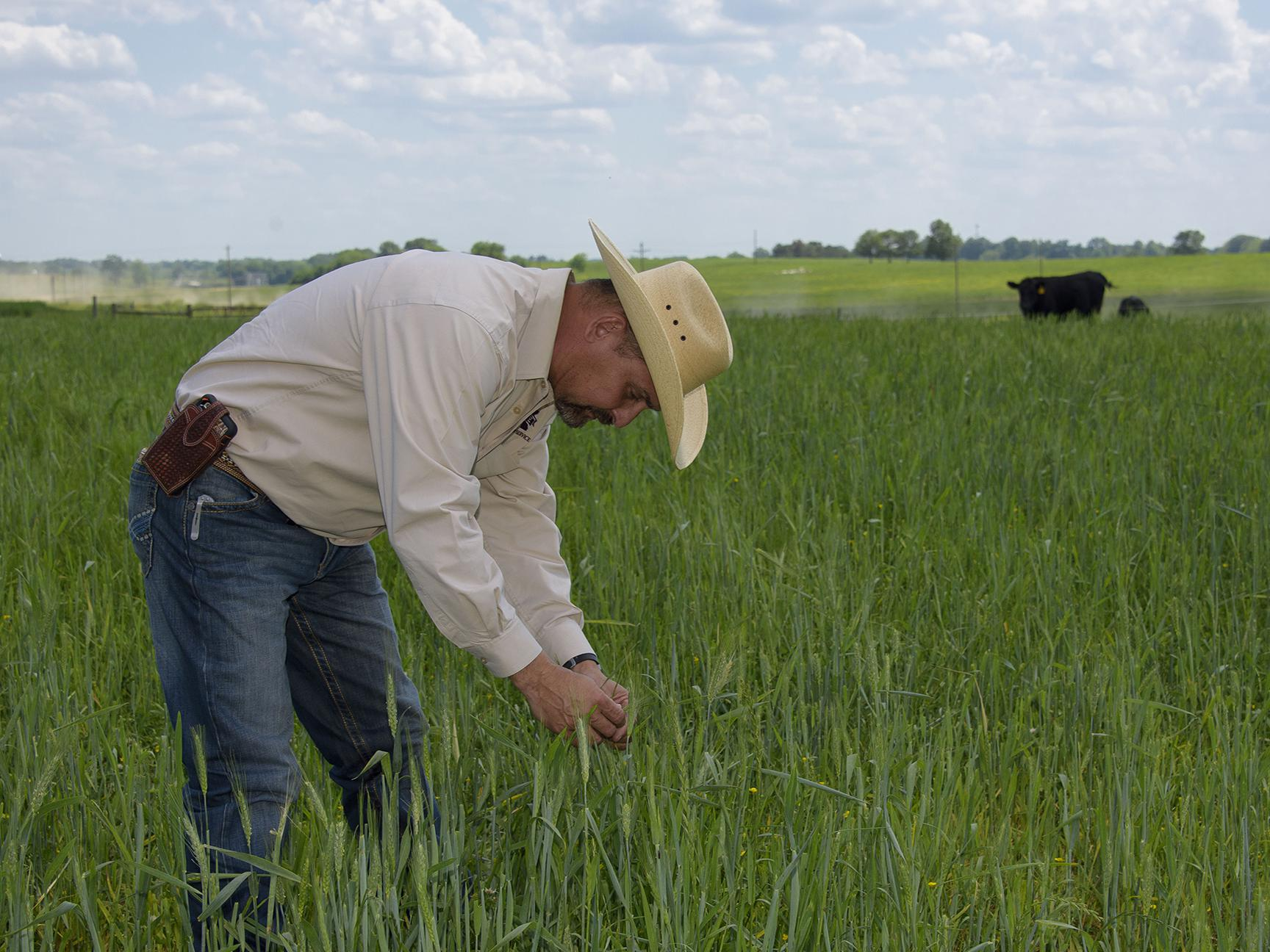 Mississippi State University Extension Service forage specialist Rocky Lemus inspects wheat interseeded with balansa clover at the H.H. Leveck Animal Research Center in Starkville, Mississippi, on April 20, 2017. (Photo by MSU Extension Service/Kevin Hudson)
