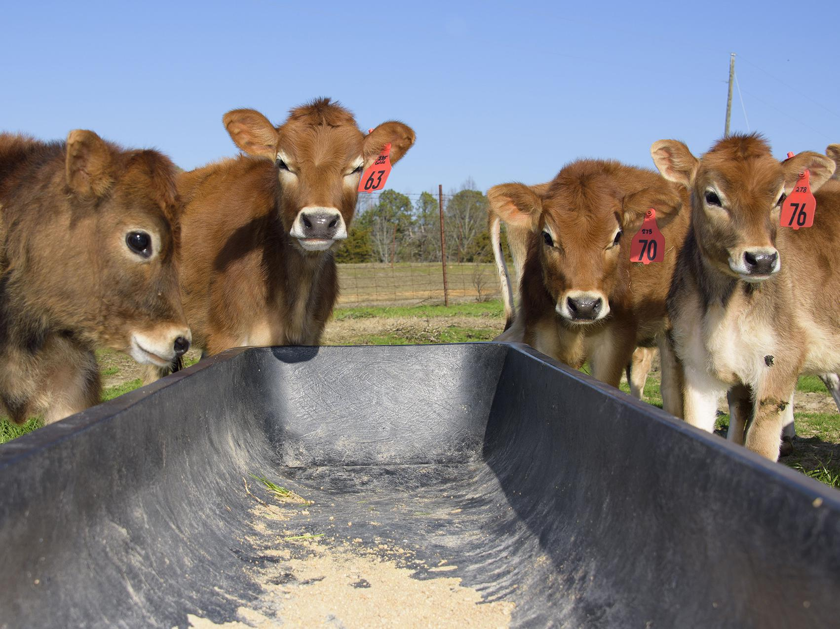 Jersey cows huddle outside the Joe Bearden Dairy Research Center in Sessums, Mississippi in February. Primarily due to a lower number of dairy cows, the state's milk production in the first quarter of 2017 was down from the previous year. (Photo by MSU Extension/Kevin Hudson)