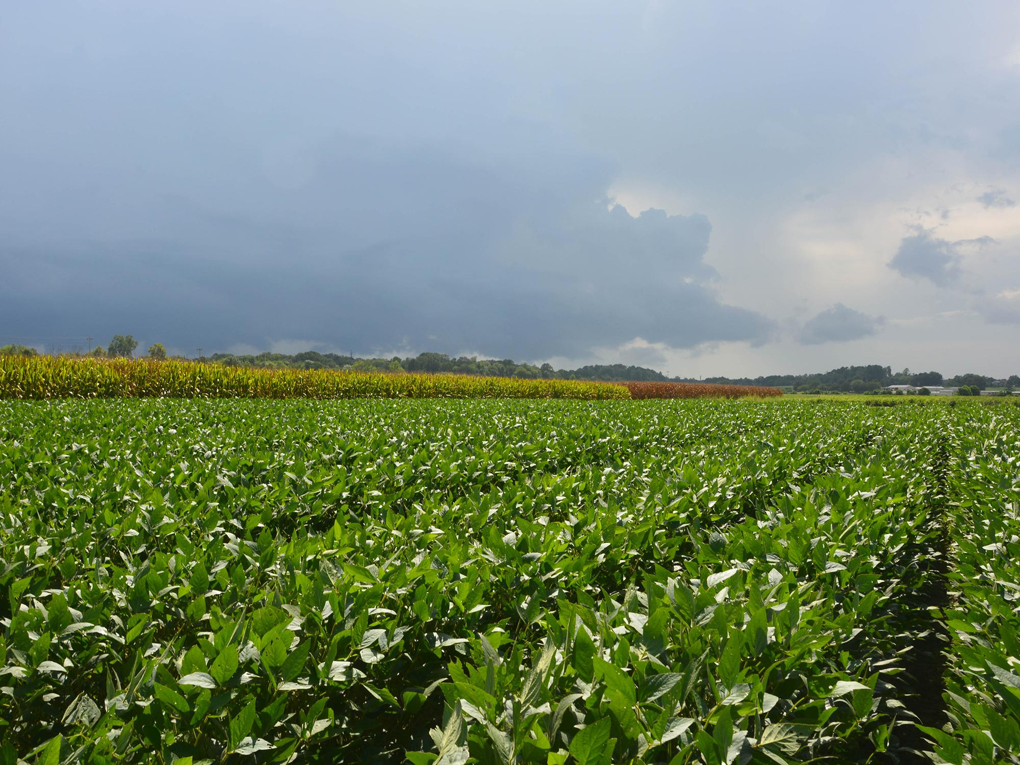 Dark clouds move toward Mississippi State University soybean and corn plots at the R.R. Foil Plant Science Research Center in Starkville, Mississippi, on Aug. 17, 2017. (Photo by MSU Extension Service/Linda Breazeale)