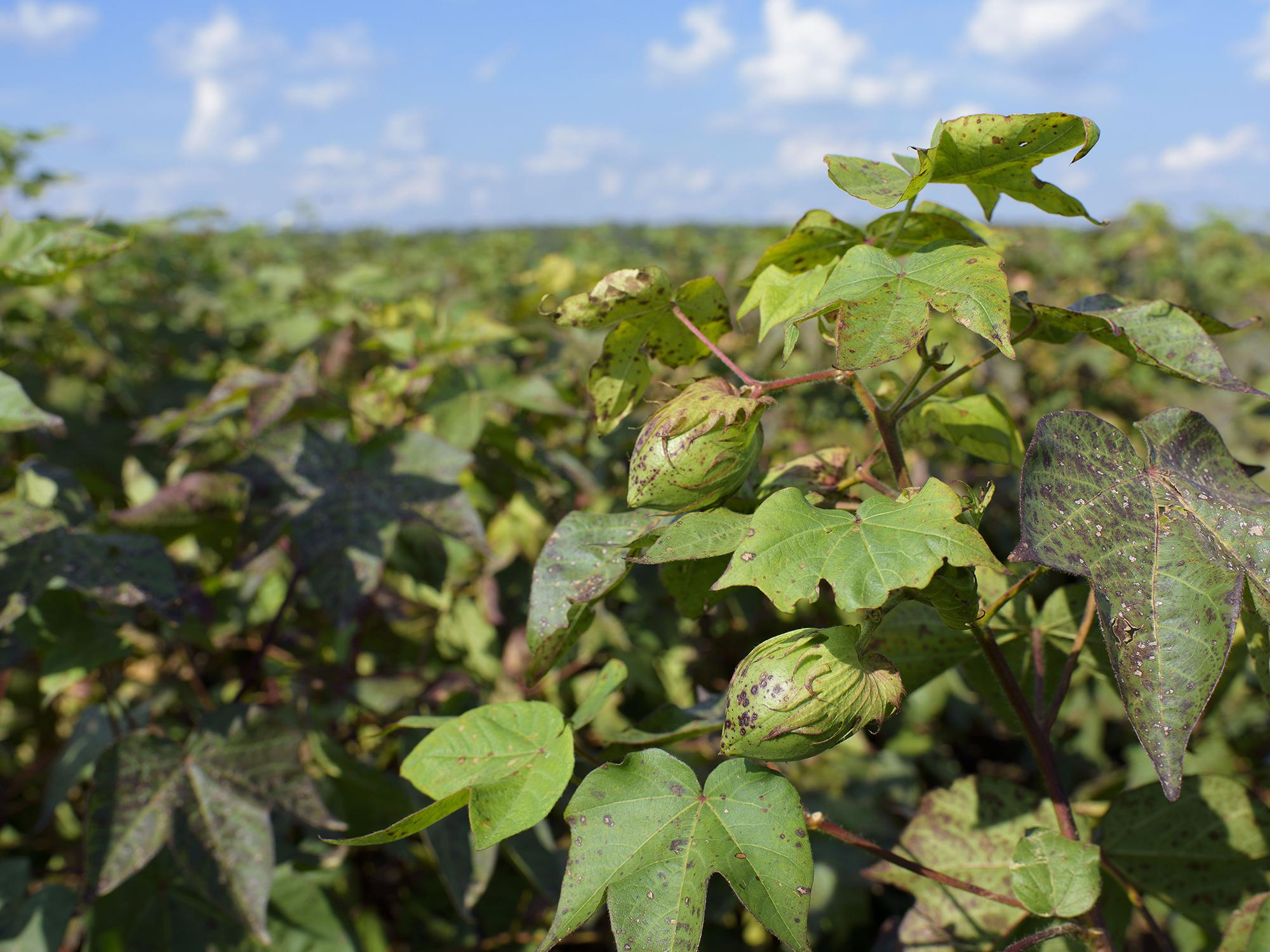 A closed boll is seen on a cotton plant growing in a field.