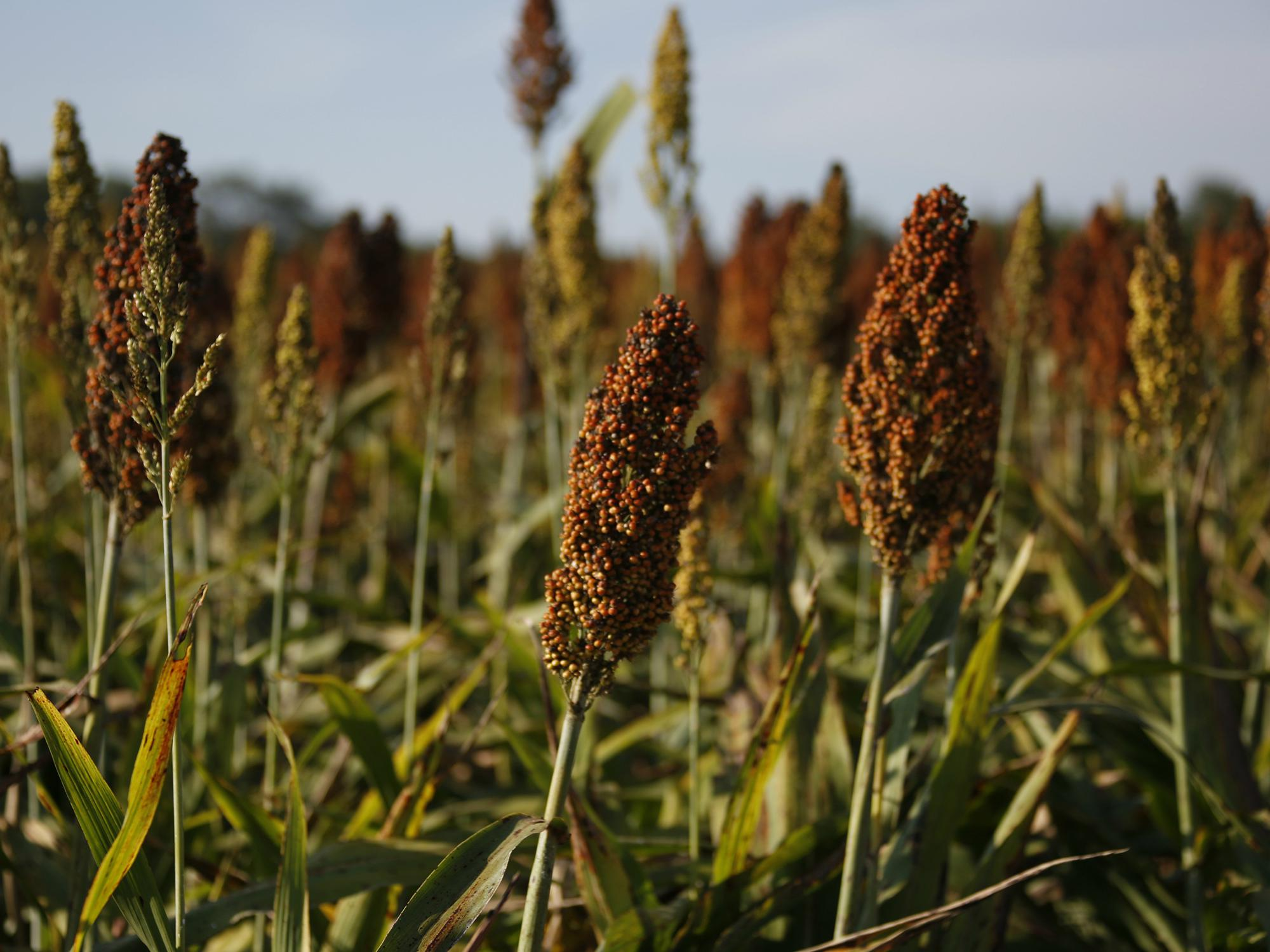 Close up of a head of grain sorghum full of tiny brown seeds, along with other plant heads in the field around it.