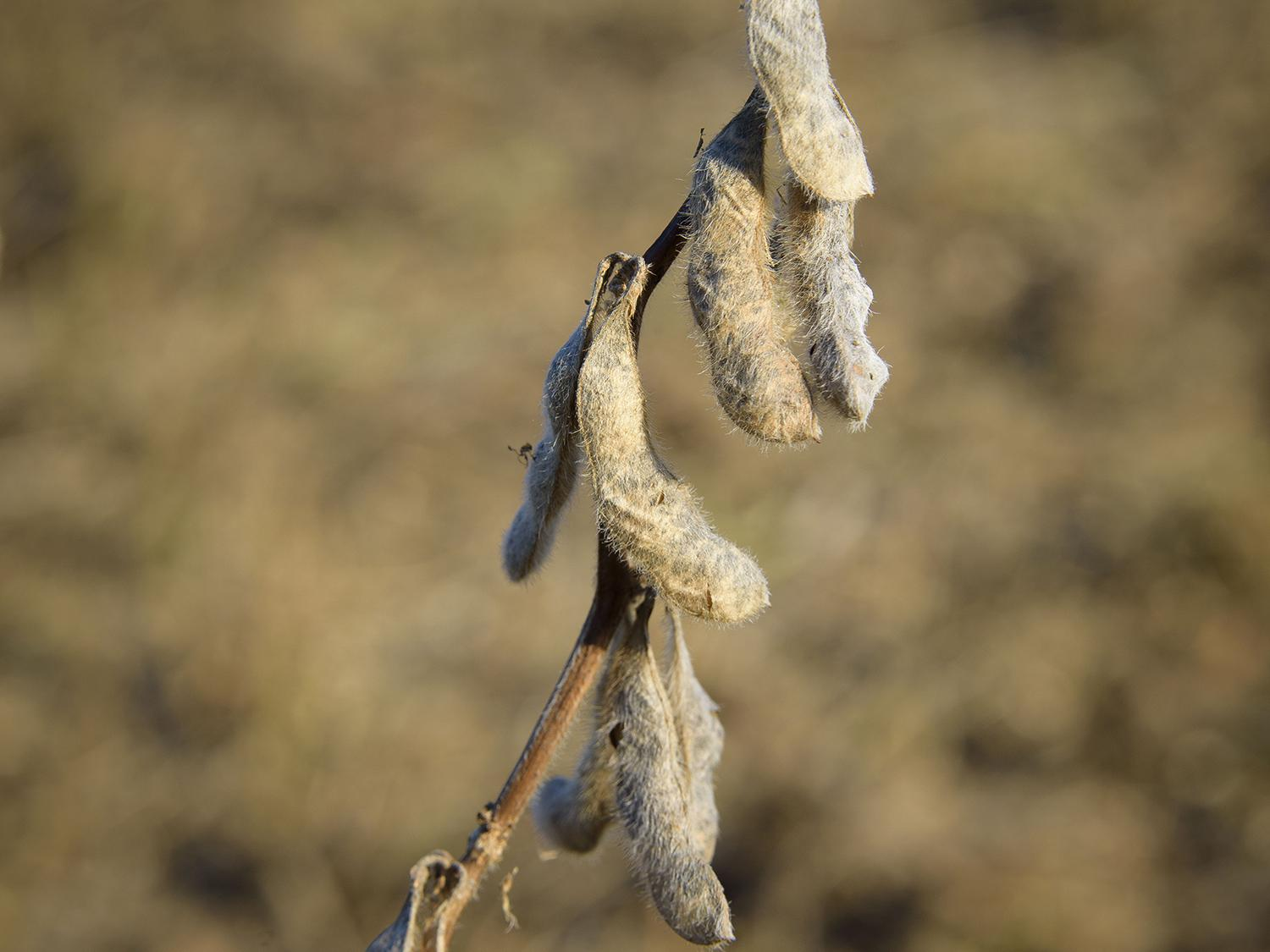 Photo shows mature, dried soybean pods hanging against a brown, natural background.