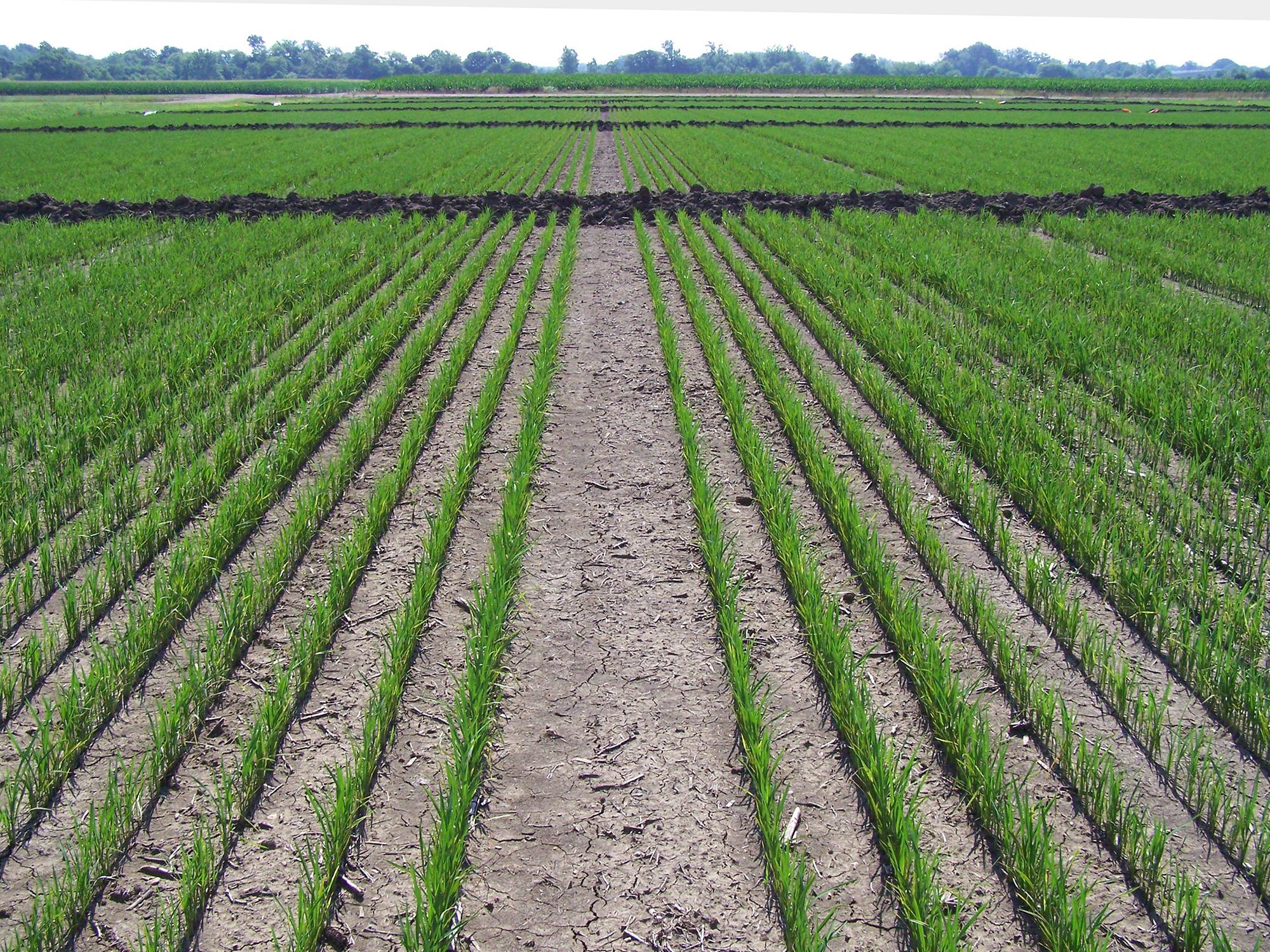 This 2016 rice field is growing the Thad variety of foundation seed stock at the North Mississippi Research and Extension Center in Verona, Mississippi. Most of the 2017 rice crop is at or beyond this growth stage that is ready for floodwaters. (File photo by Mississippi Foundation Seed Stock/Randy Vaughan)