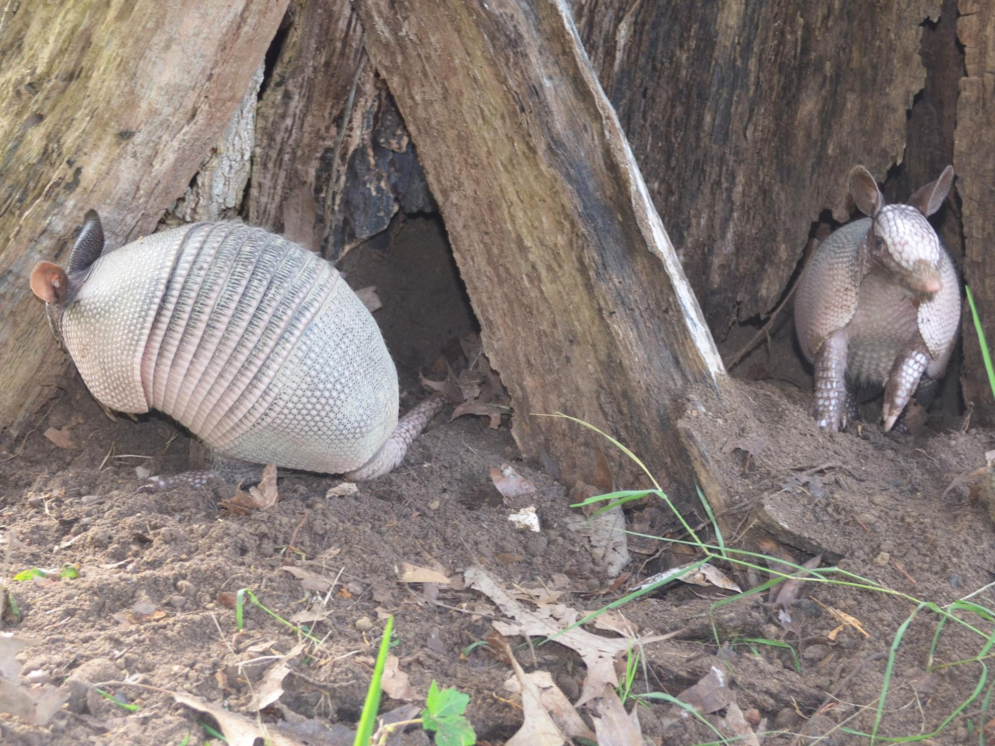 Armadillos dig up gardens in search of insects to eat but do not typically consume garden plants. (File photo by MSU Extension Service/Linda Breazeale)
