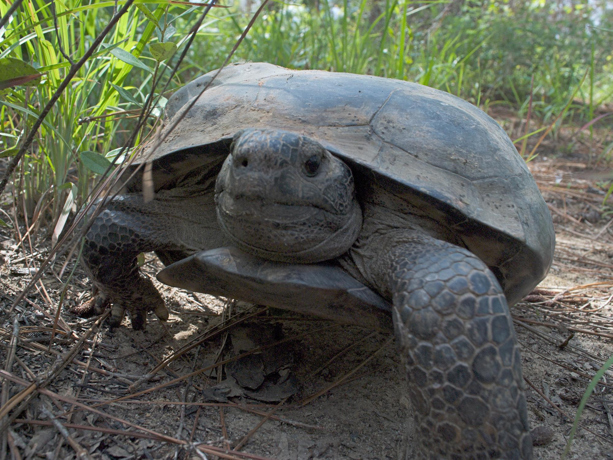 A gopher tortoise walking in one of south Mississippi's remaining longleaf pine forest.
