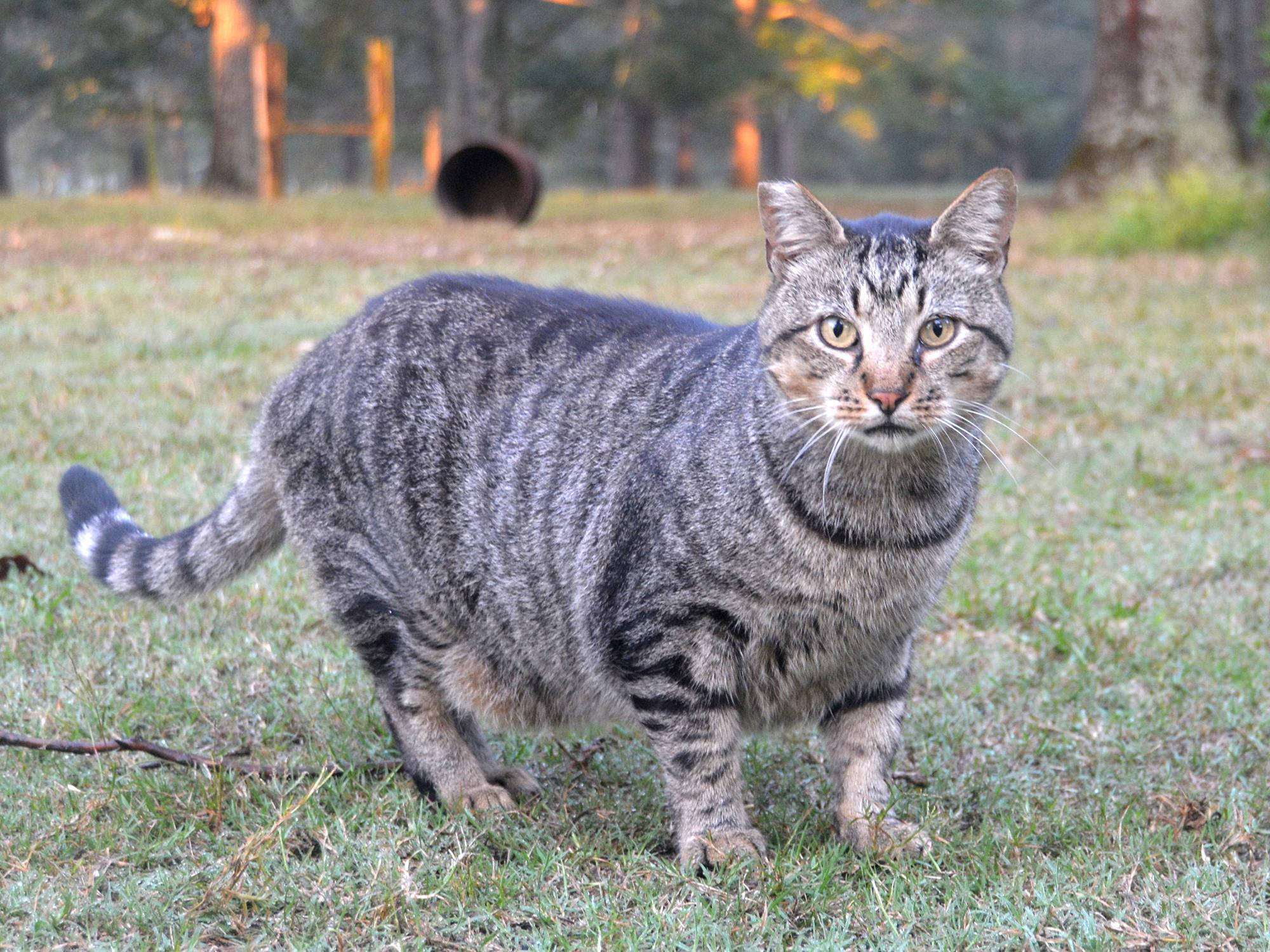 The cut across the tip of this gray cat's right ear is visible as it looks at the camera while standing in a barnyard.