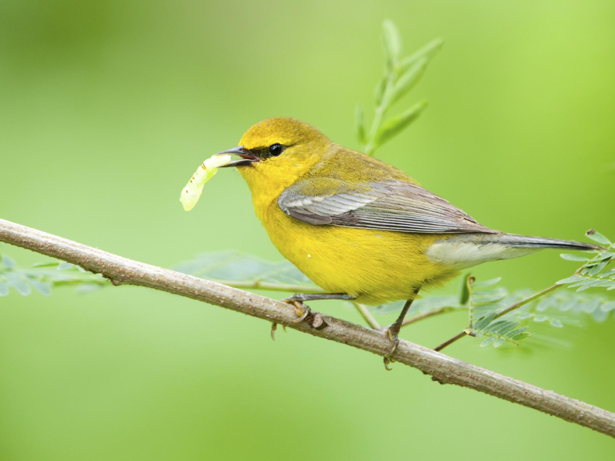 A small yellow bird holding a worm in its beak while perched on a small tree branch.