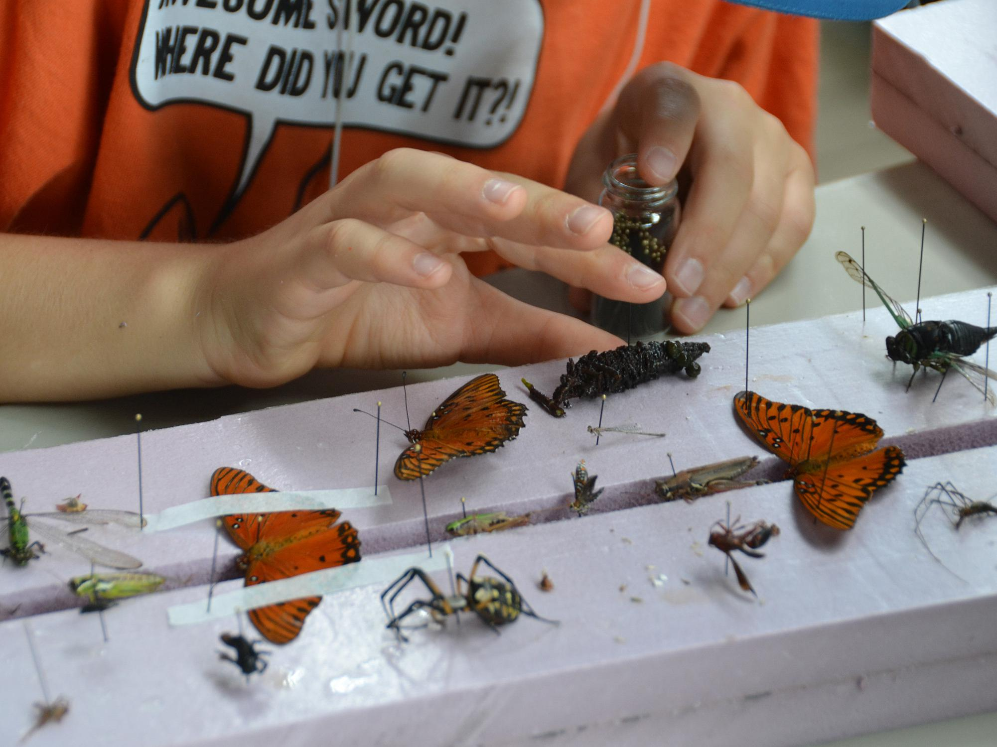 A child's hands poised above a collection of colorful insect specimens, pinned to Styrofoam blocks.