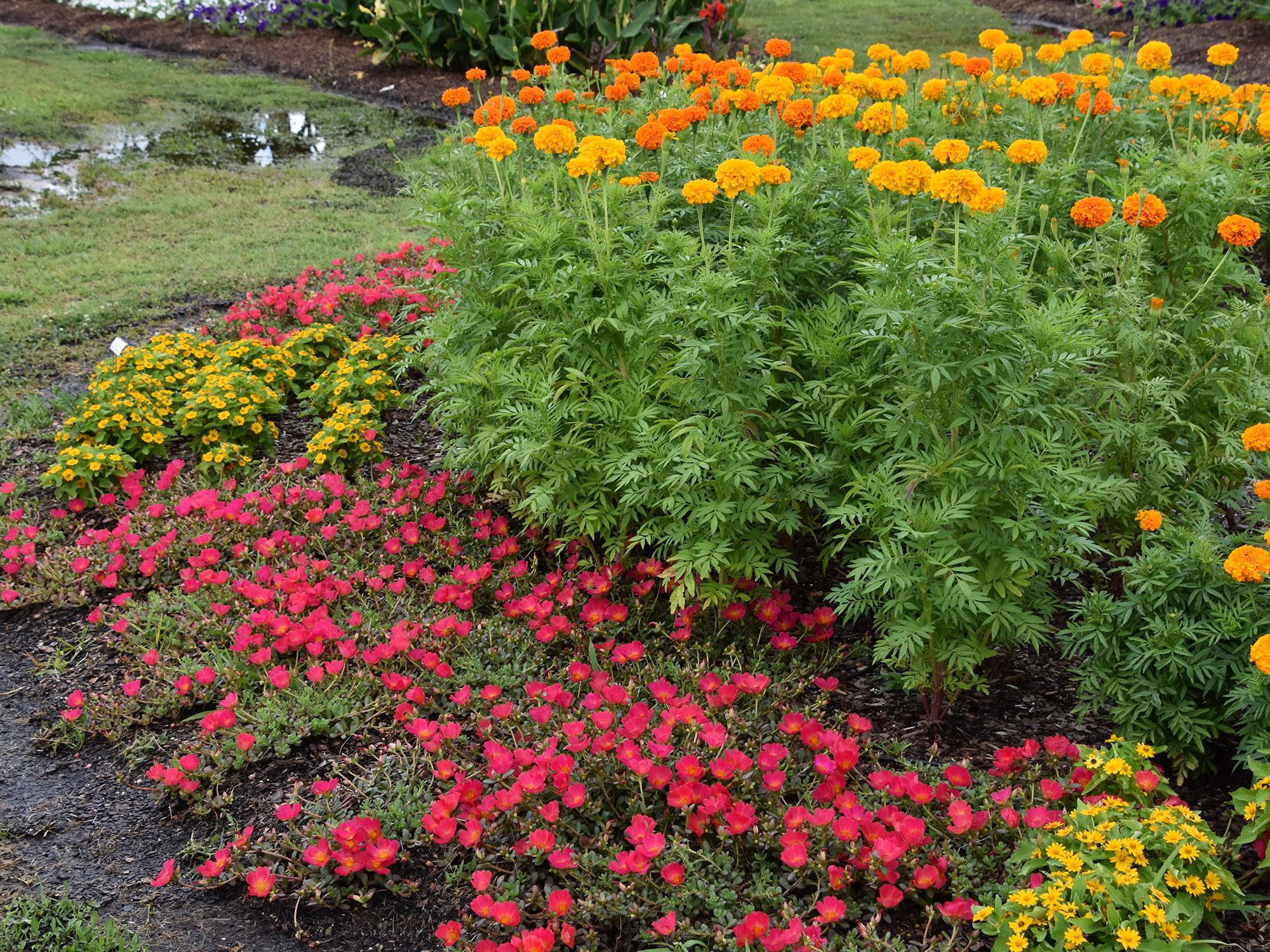 Also called the African marigold, various series of the American marigold can range from 15 inches to 3 feet in height. (Photo by MSU Extension Service/Gary Bachman)