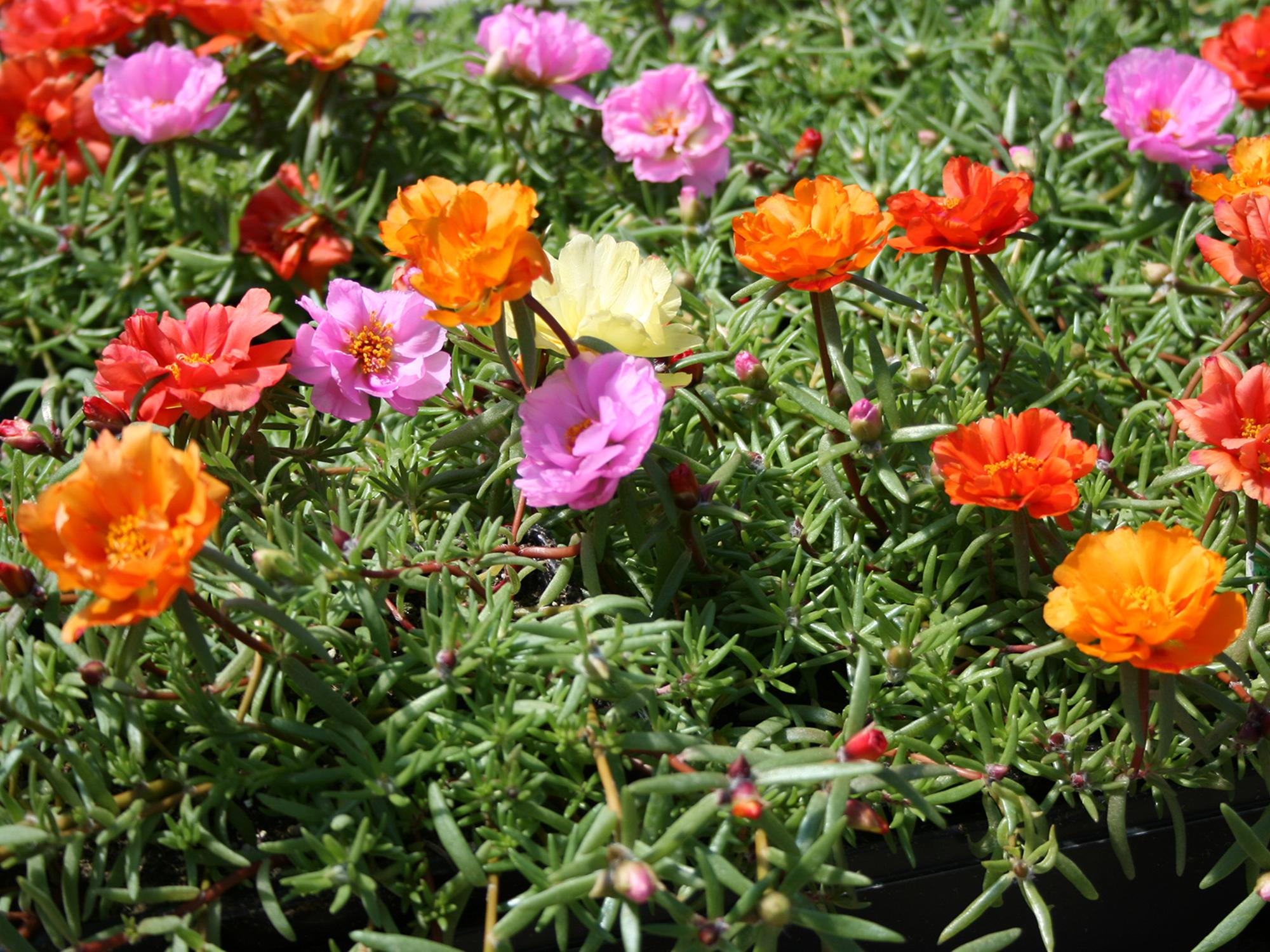 Moss rose is a great summer selection with blooms that resemble tiny roses and succulent foliage that withstands the heat. (Photo by MSU Extension/Gary Bachman)