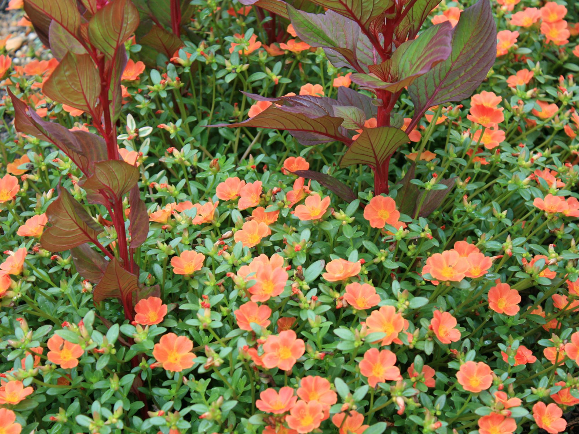 The Best Strategy To Use For How To Grow Purslane Seeds