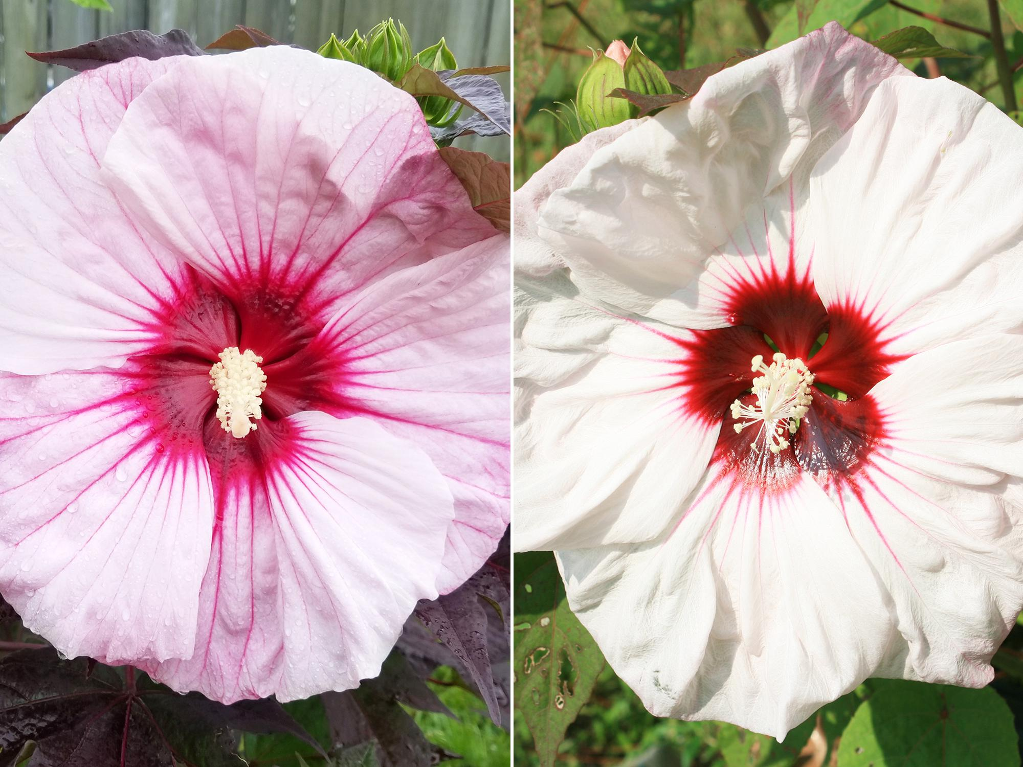 The combination of flower and foliage colors on Summerific Perfect Storm (left) is as dramatic as a summer thunderstorm. Although a compact-growing selection, the huge flowers can exceed 9 inches in diameter. The star of my late-summer garden is Summerific Cherry Cheesecake (right), which blooms for a month with 7- to 8-inch-diameter flowers. (Photo by MSU Extension/Gary Bachman)