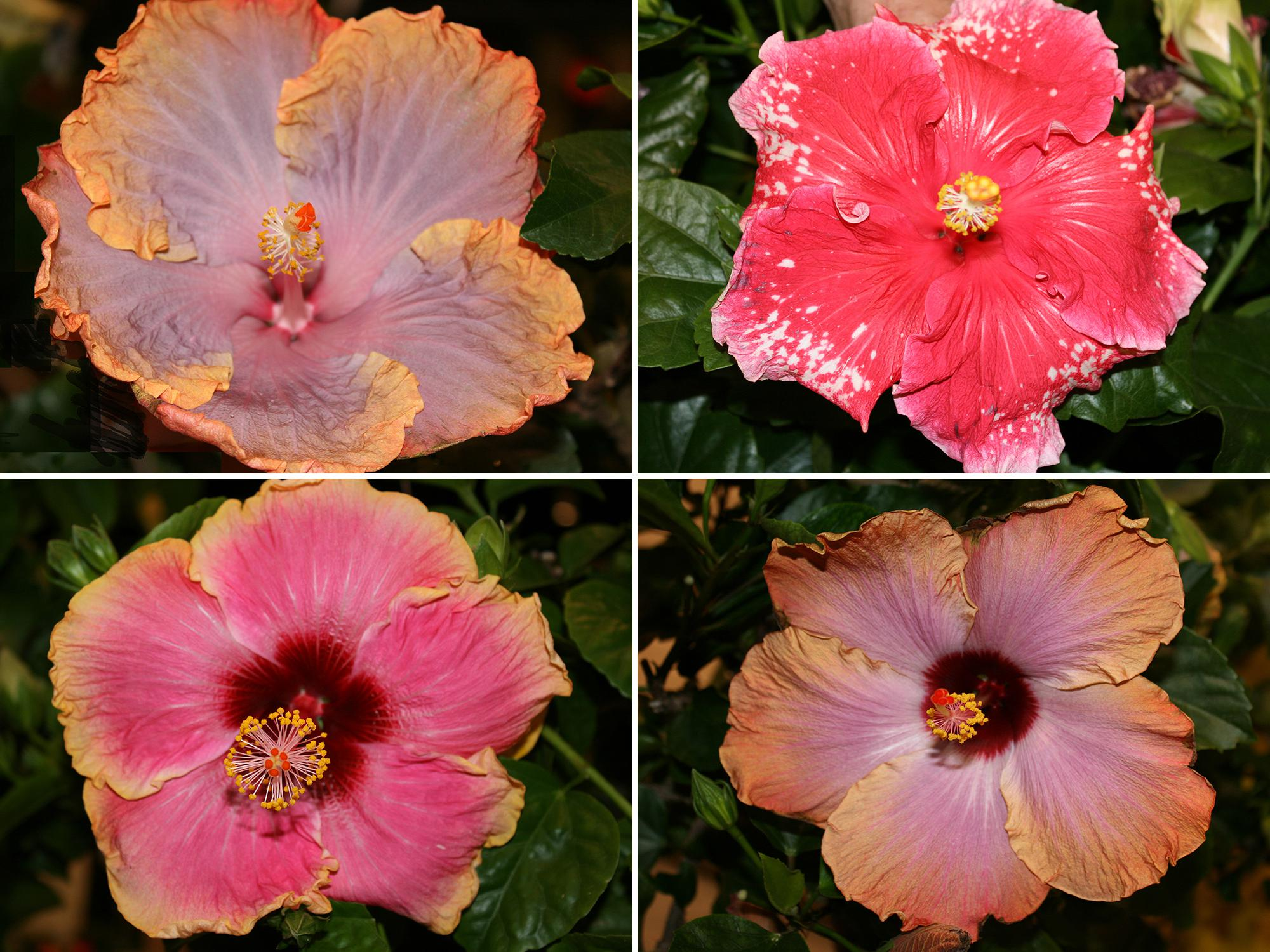 Tropical hibiscus, such as this Cajun Creole Lady (top left), require consistent moisture. Although Cajun Peppermint Patty (top right) flowers bloom for just one day, the plants produce flowers from spring until fall. Tropical hibiscus, such as this Cajun Dixieland Delight (bottom left), produce flowers with spectacular colors and combinations. The dark green and glossy foliage of tropical hibiscus such as this Cajun Rum Runner (bottom right) provides a nice background for the colorful blooms.