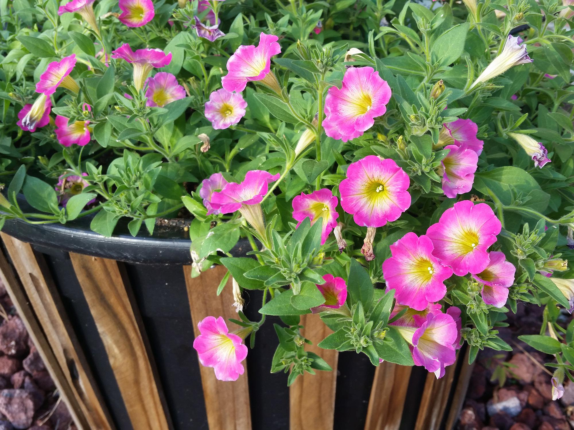 These Daybreak Charm Supertunias are thriving in a basic, 25-gallon container that has been dressed up with vertical wooden slats. (Photo by MSU Extension/Gary Bachman)