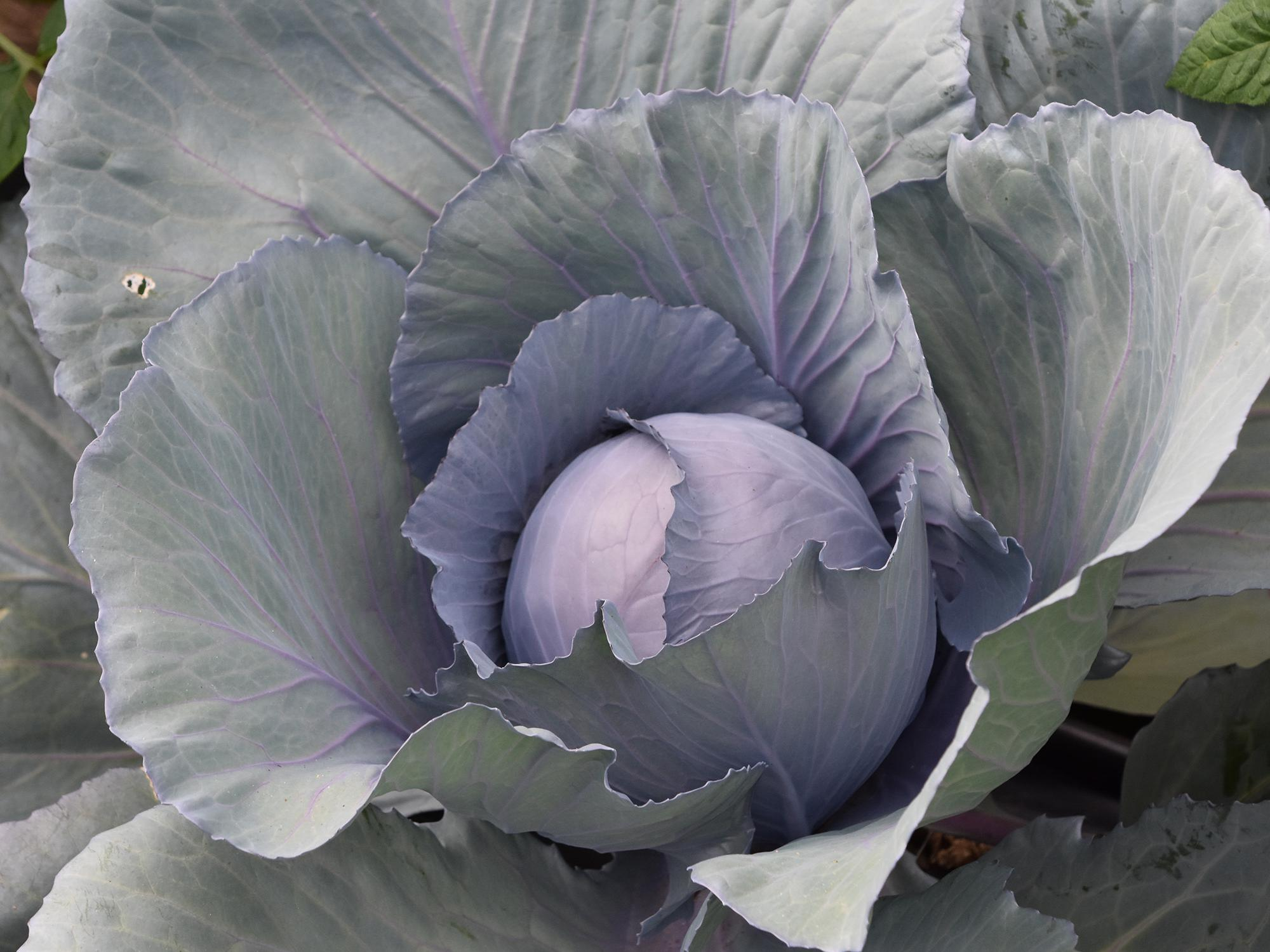 A head of cabbage grows in the center of a gorgeous red cabbage plant.