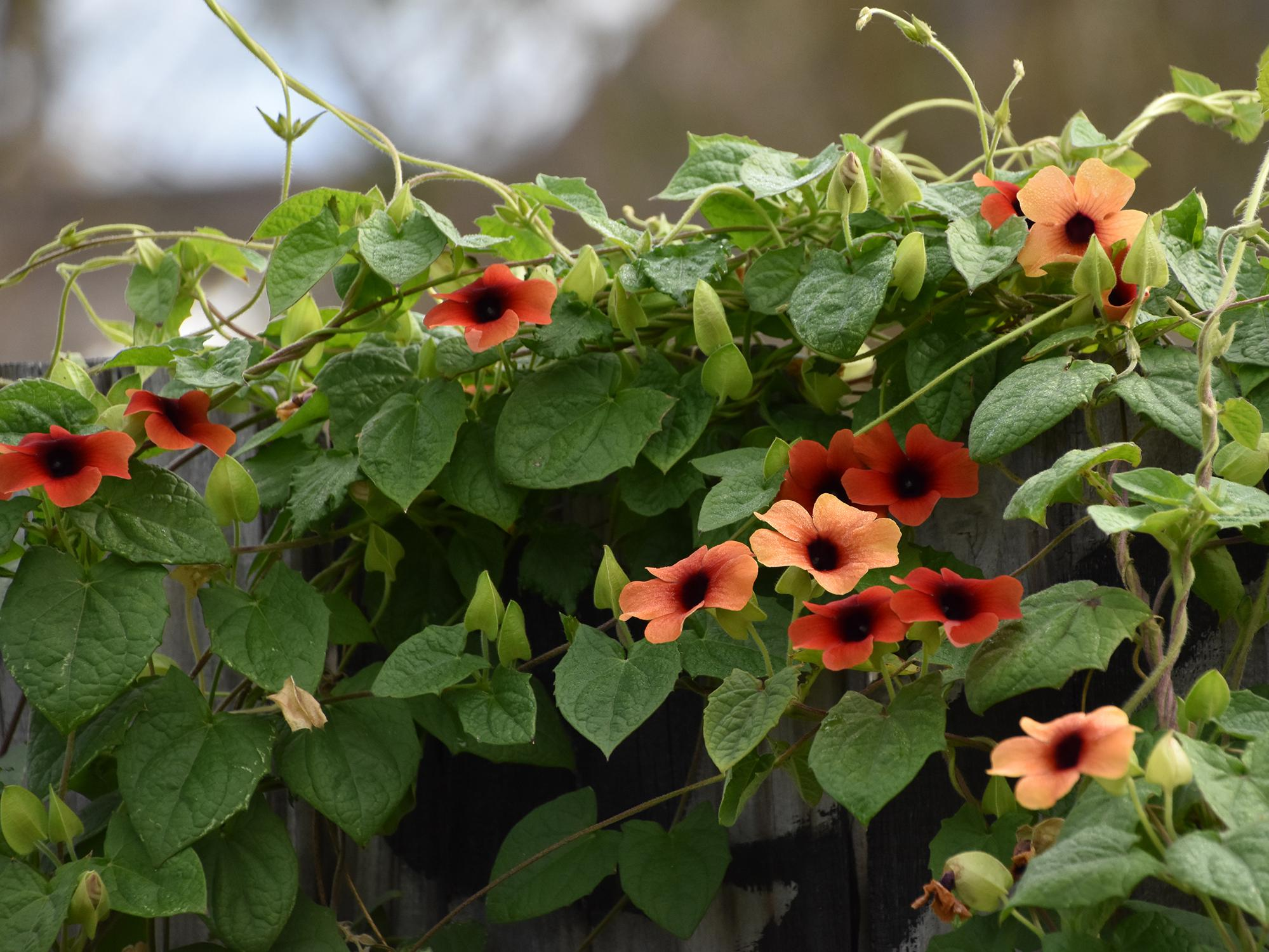 Orange vine flowers resembling black-eyed Susans straddle the top of a wooden gray fence.