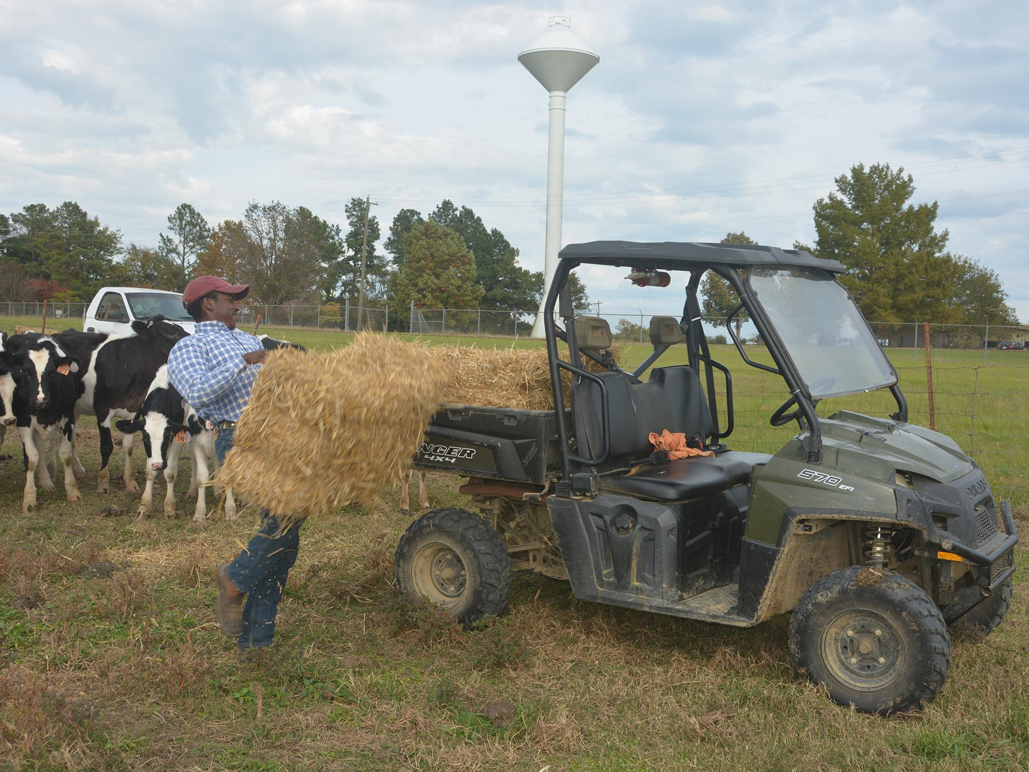 Young man strains to handle a bale of hay at the back of a farm utility vehicle in a pasture with black and white dairy heifers clustered behind and watching.