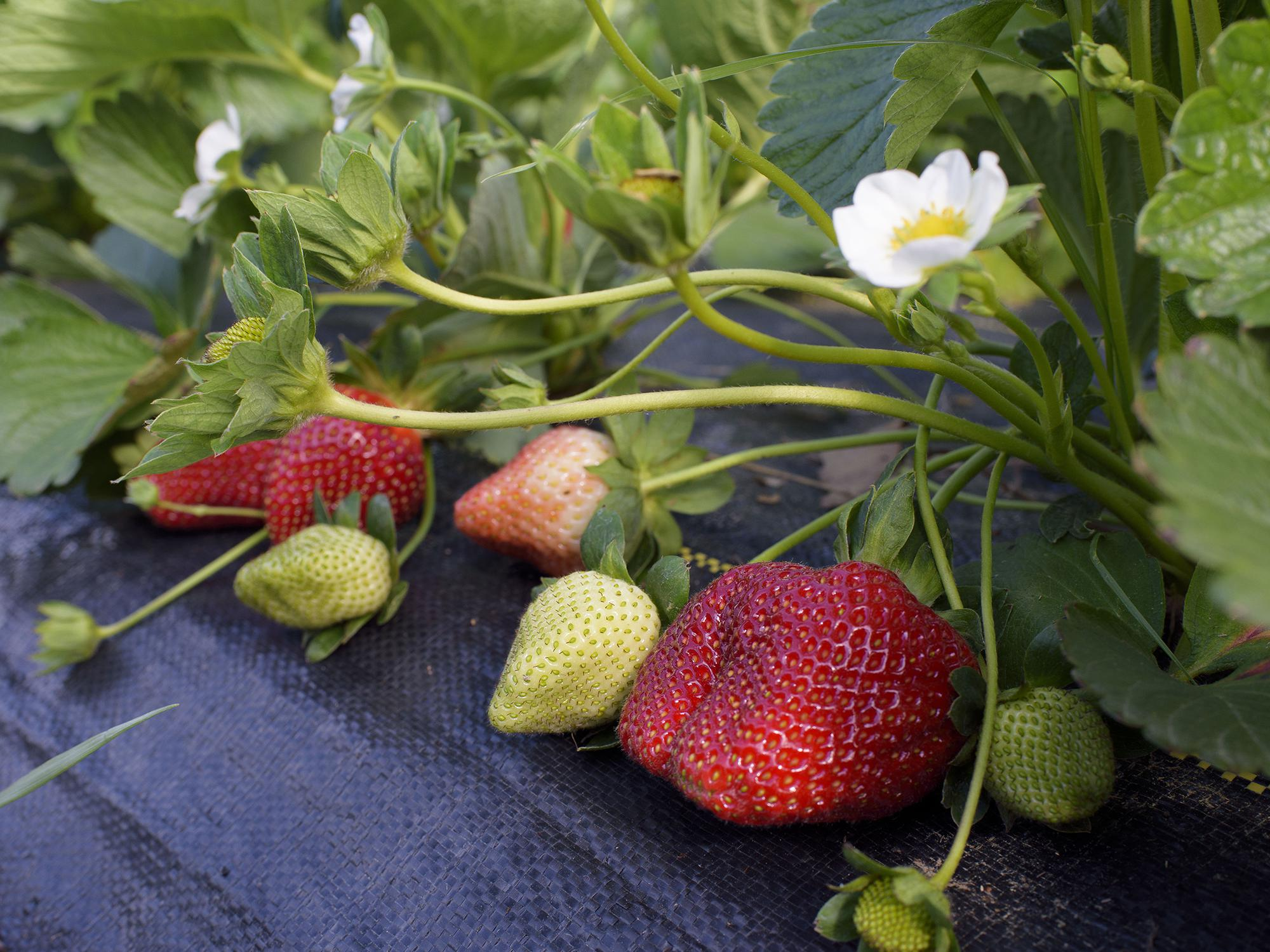Strawberries in various stages of ripening sit on top of black weed barrier matting.