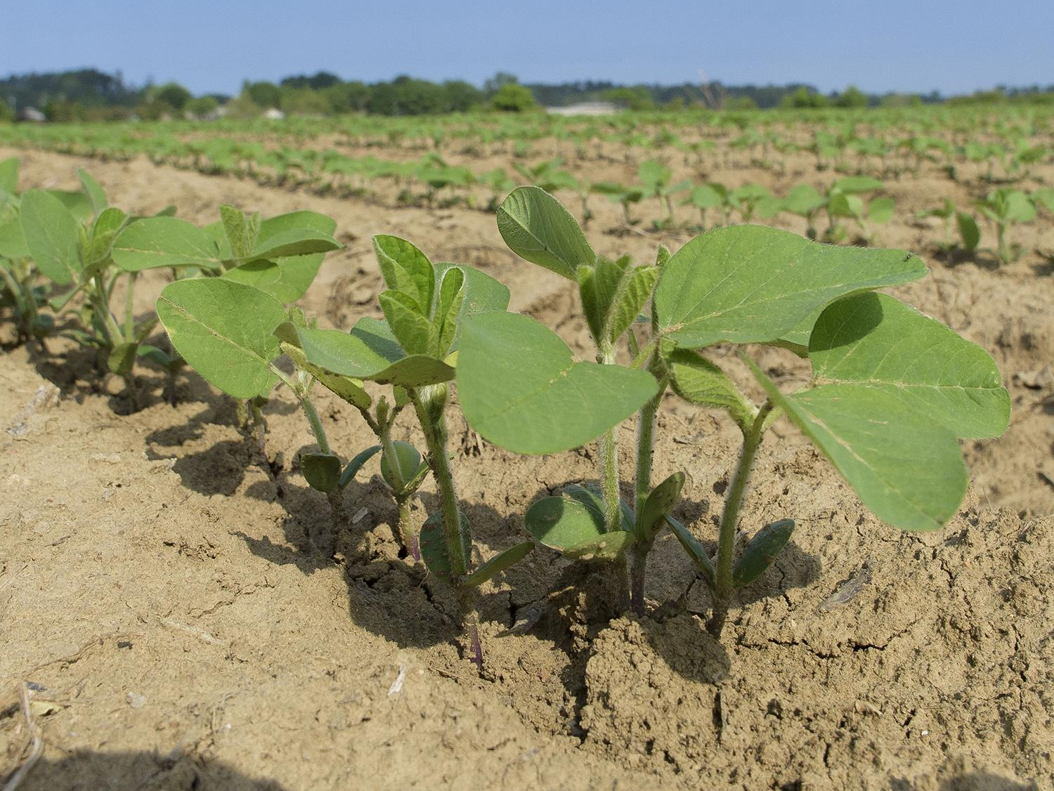 Small soybean plants stand a few inches tall against a blue sky.