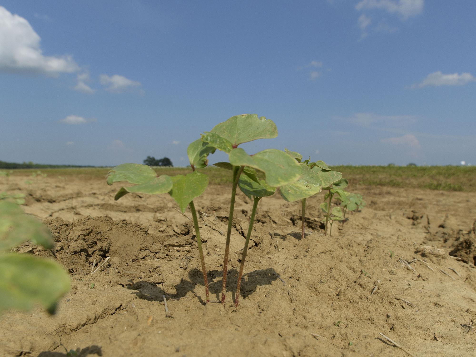 Green baby cotton plants poke through soil.