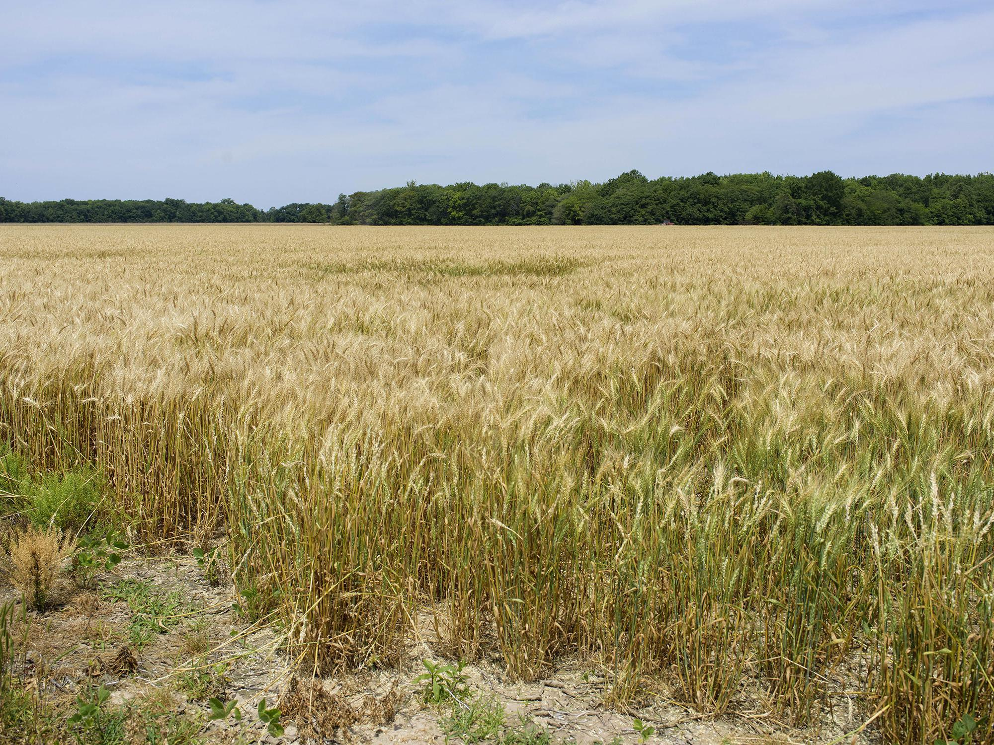 Large field of mature, golden wheat with green trees on the far side.