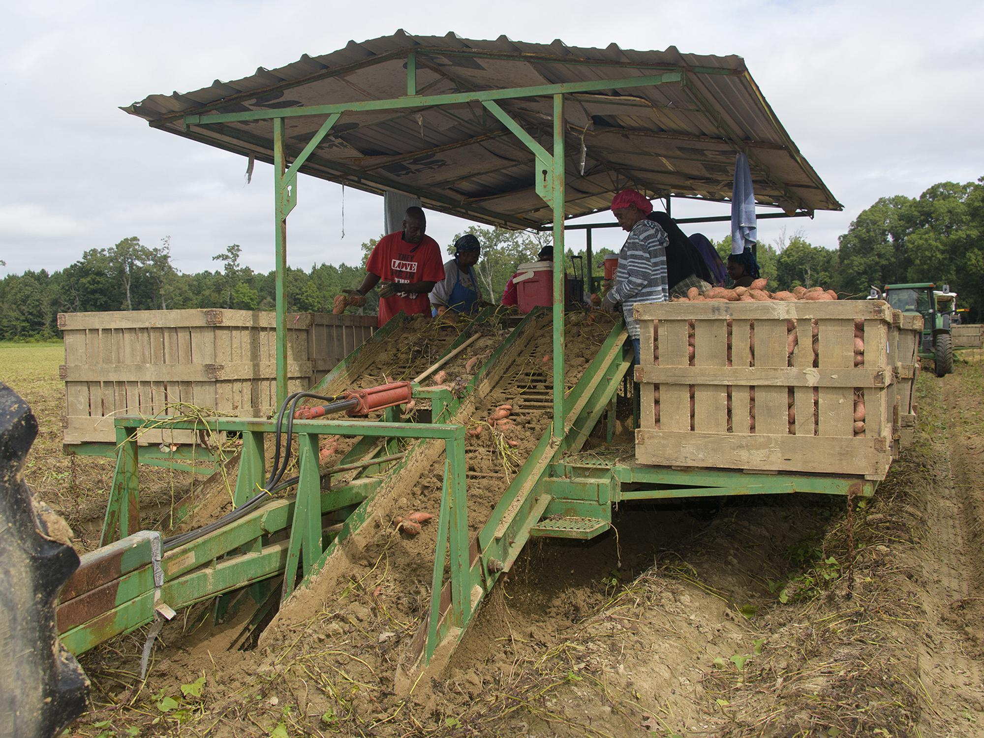 A covered trailer in a field with six workers sorting sweet potatoes into large, wooden crates along the trailer's edges.