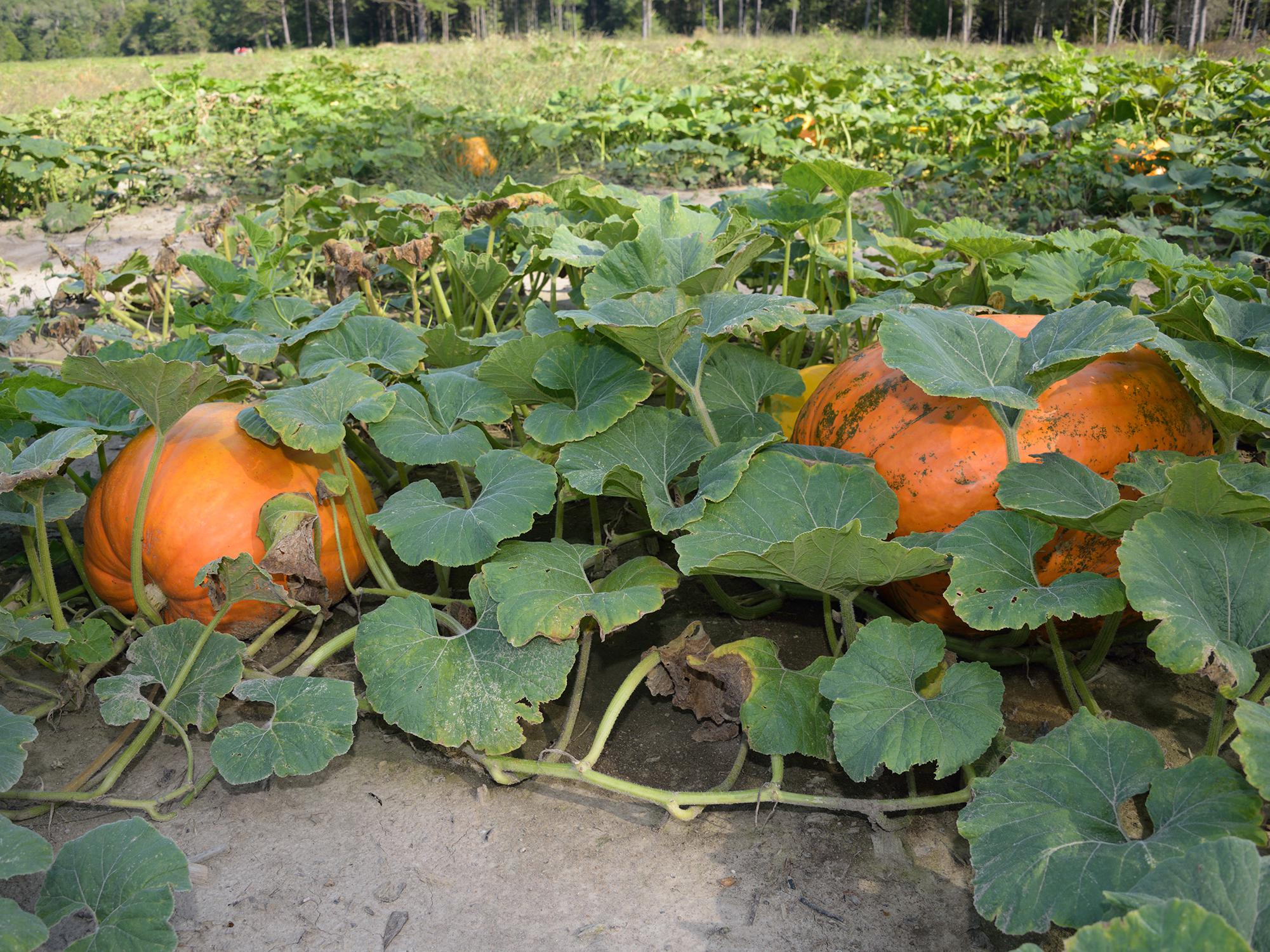 Two large, orange pumpkins grow on the vine in the foreground, with others visible in the background.