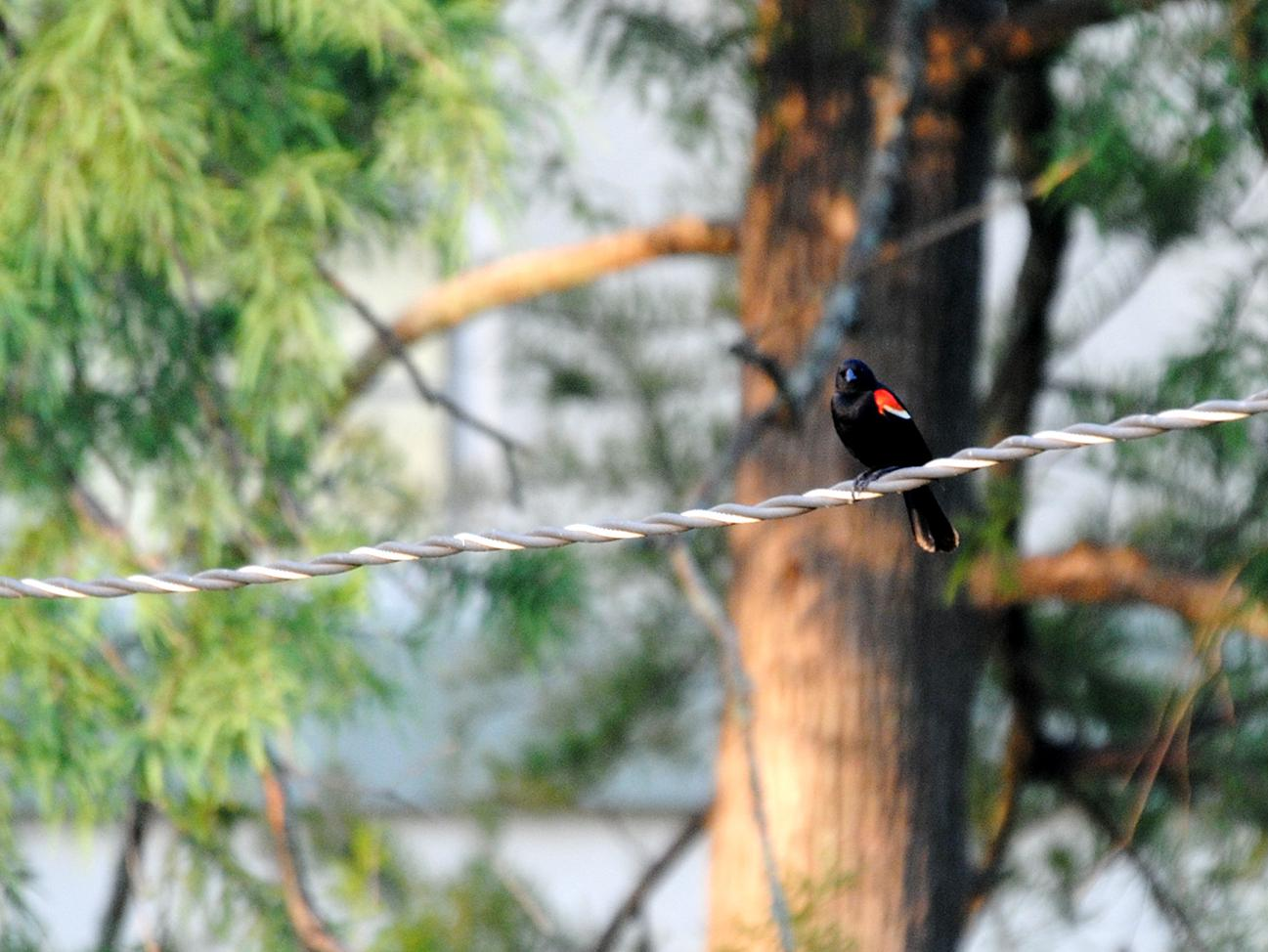 red-winged blackbird on a wire