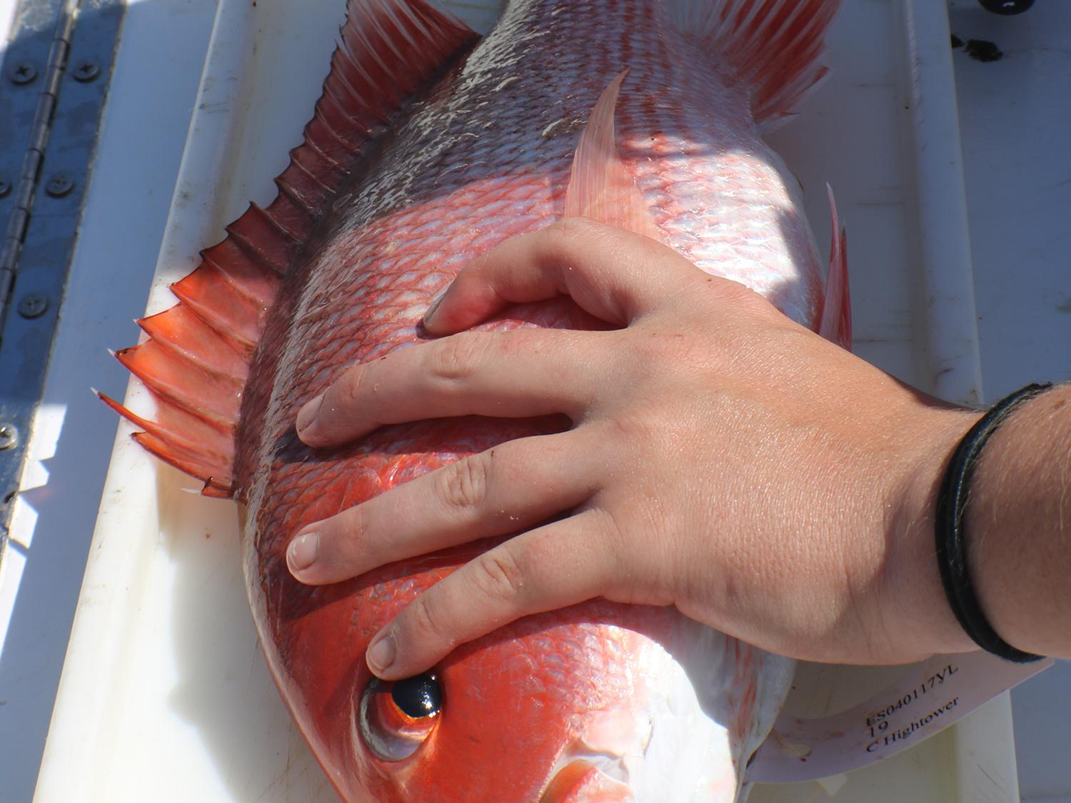 A left hand holds a mostly red fish down with a right hand marking the tail's end on a measuring tape.