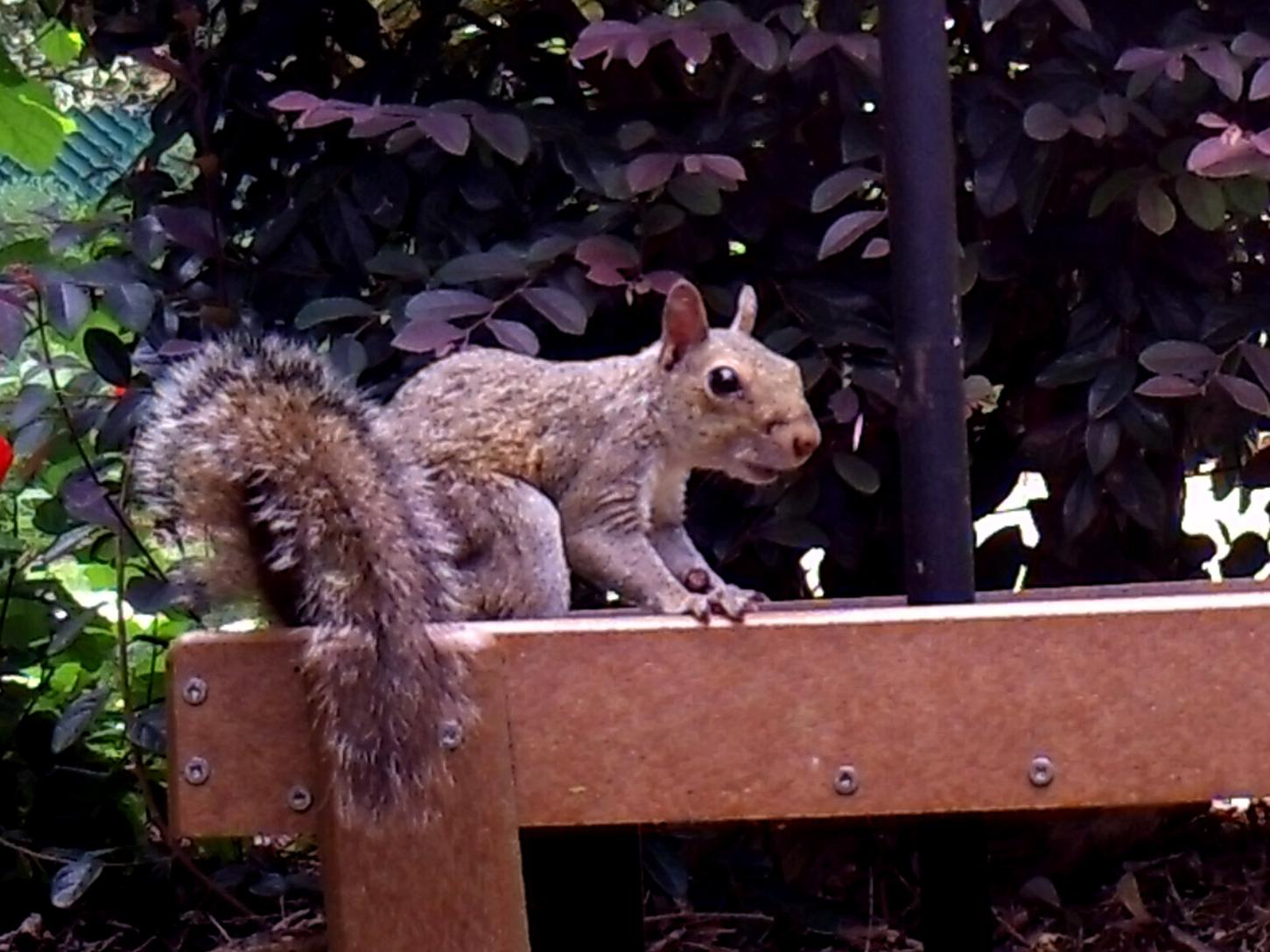 Alert gray squirrel pauses on a platform with shrubbery in the background.