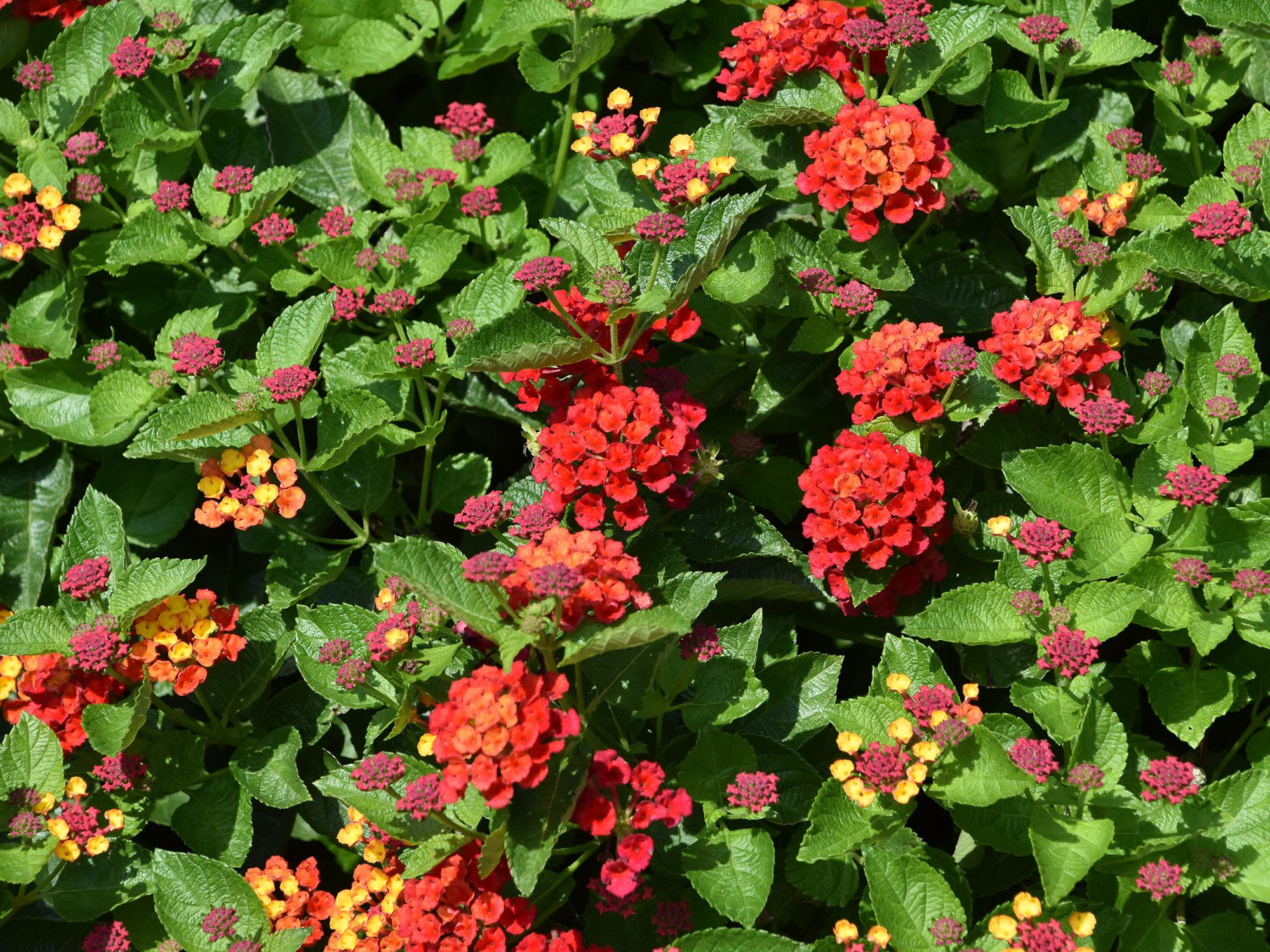 Clusters of bright red flowers are seen on a background of green leaves.