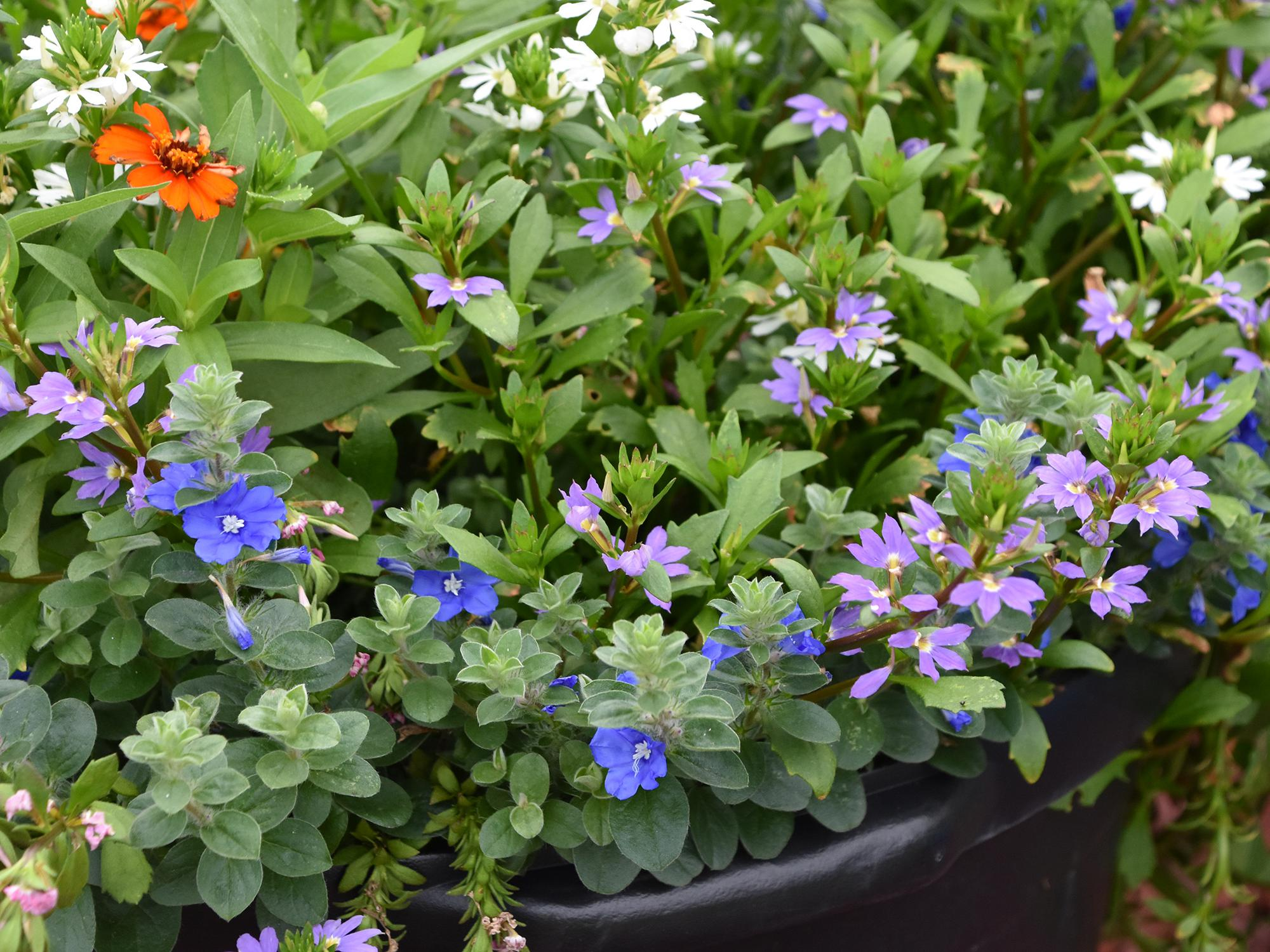 Scaevola – Tiny purple, white and orange flowers can be seen among a mass of green leaves.