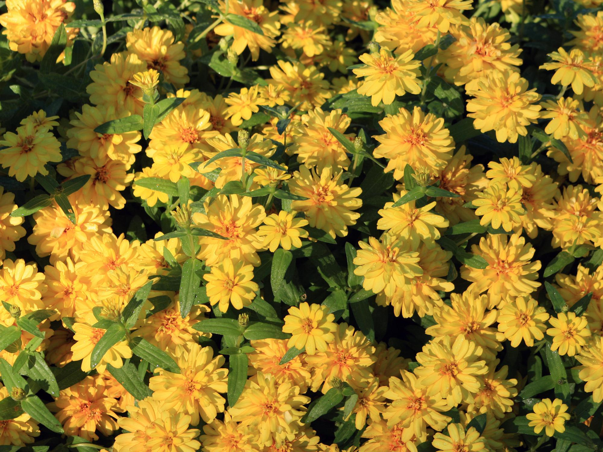 Expect a fall resurgence of profusion zahara zinnias mississippi dozens of yellow flowers fill the frame izmirmasajfo