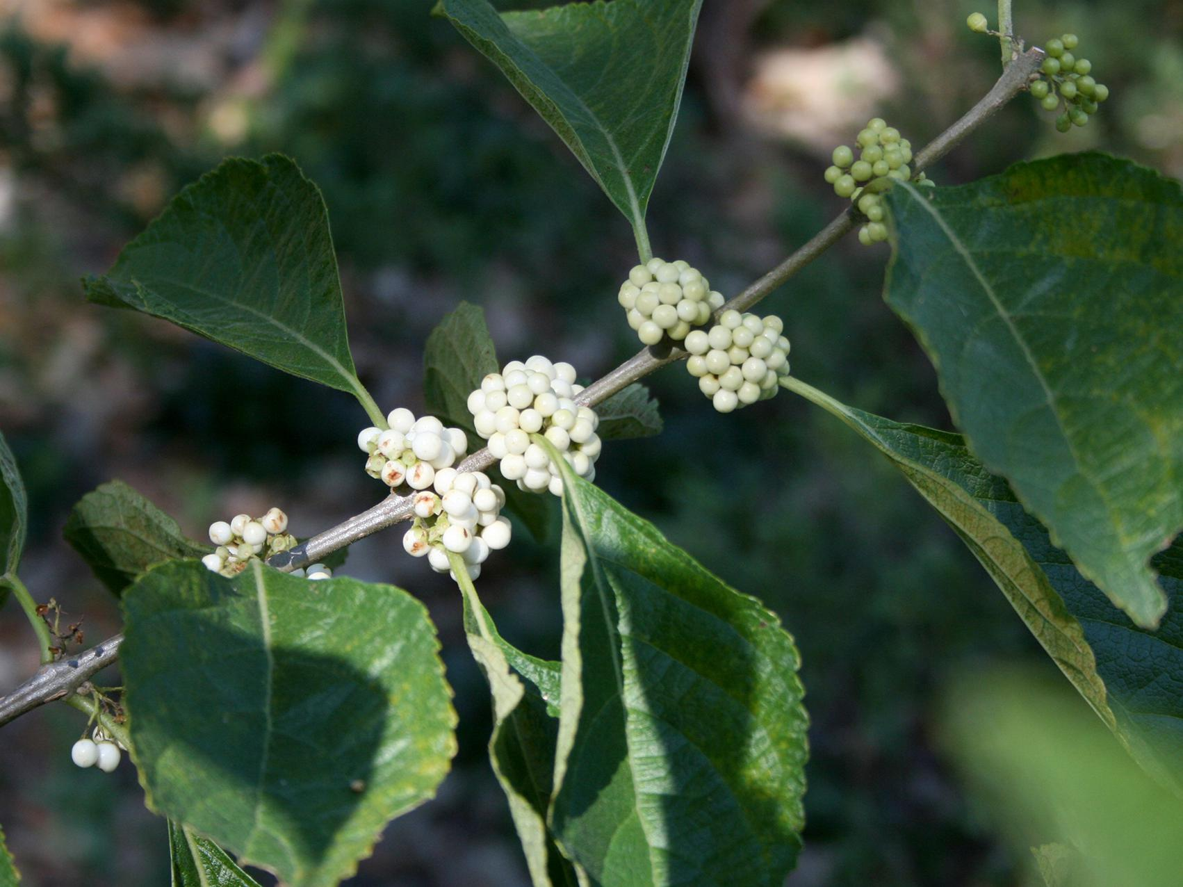 A single branch has bunches of white berries growing at each leaf junction.