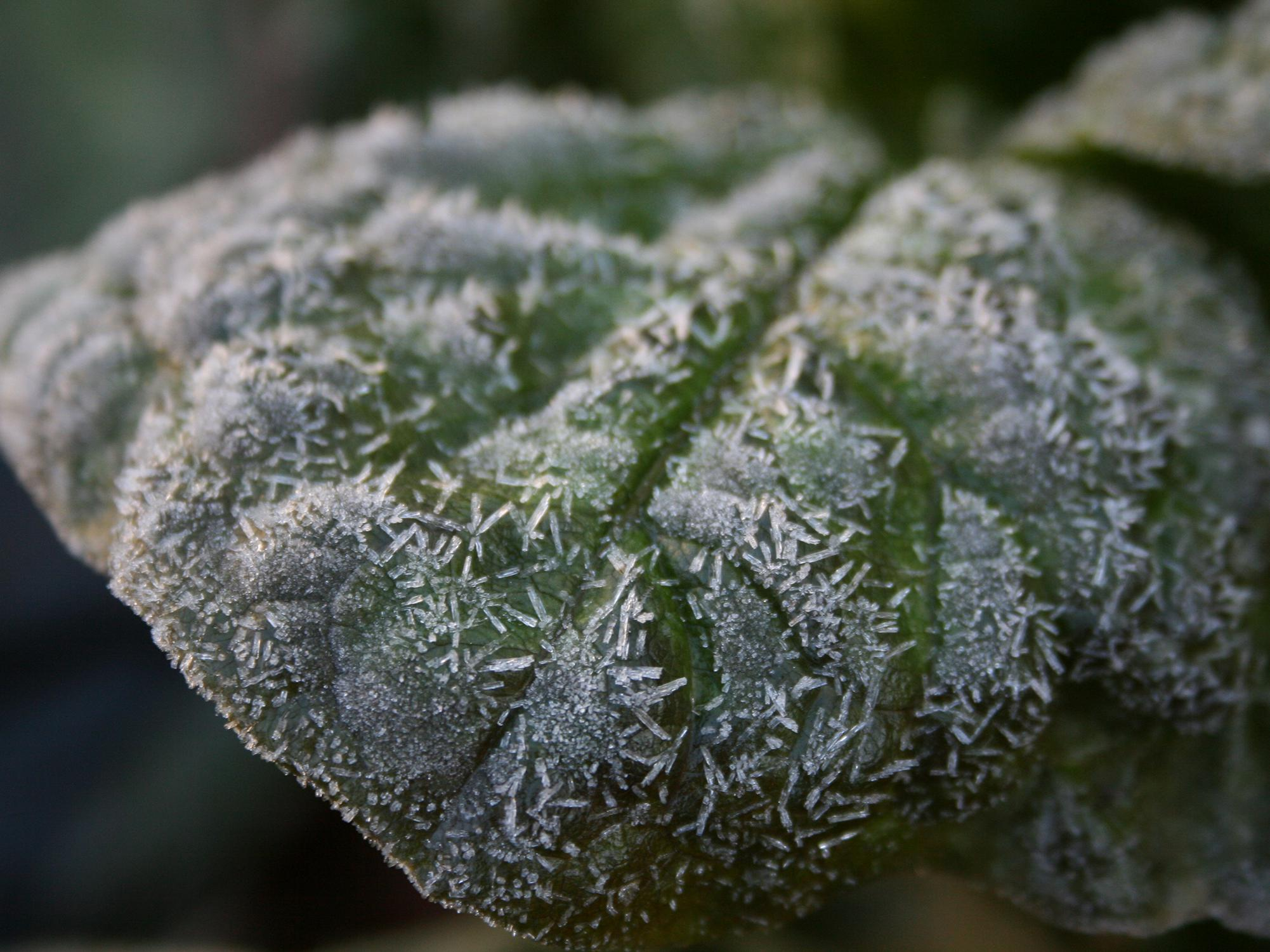 A green leaf is covered with individual, geometric ice crystals.