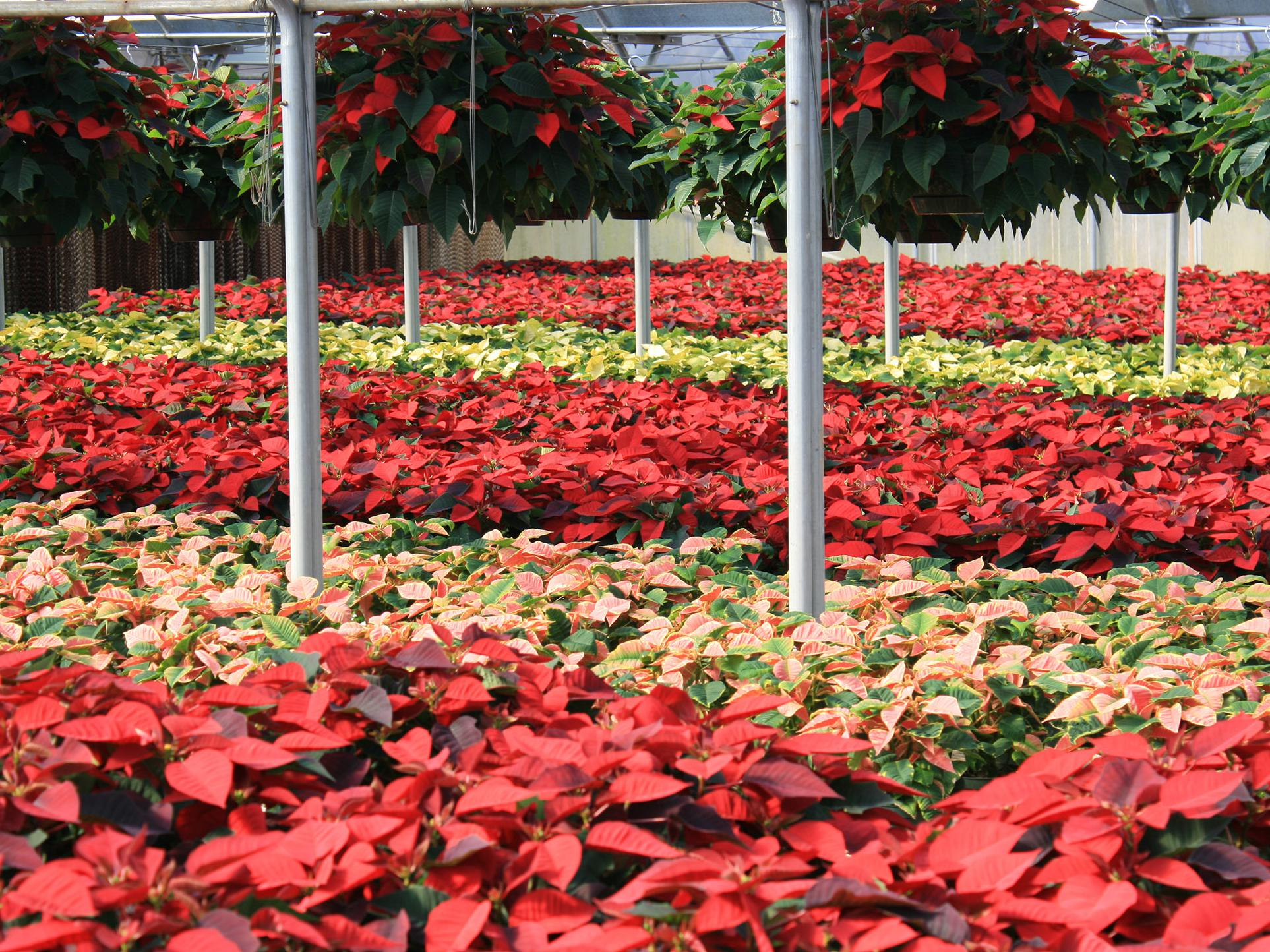 Nurseries have provided thousands of Christmas poinsettias in a variety of colors to decorate homes for the holidays. (Photo by MSU Extension/Gary Bachman)